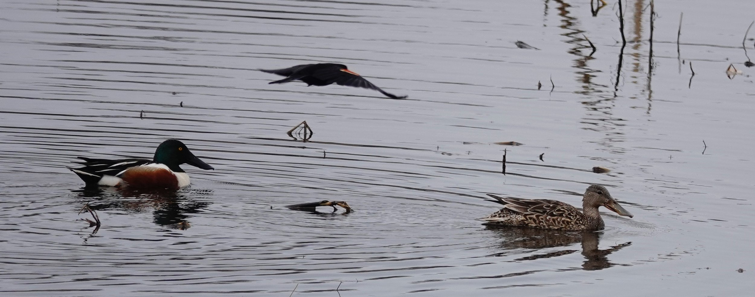 A red-winged blackbird buzzes the tower of a pair of northern shovelers.