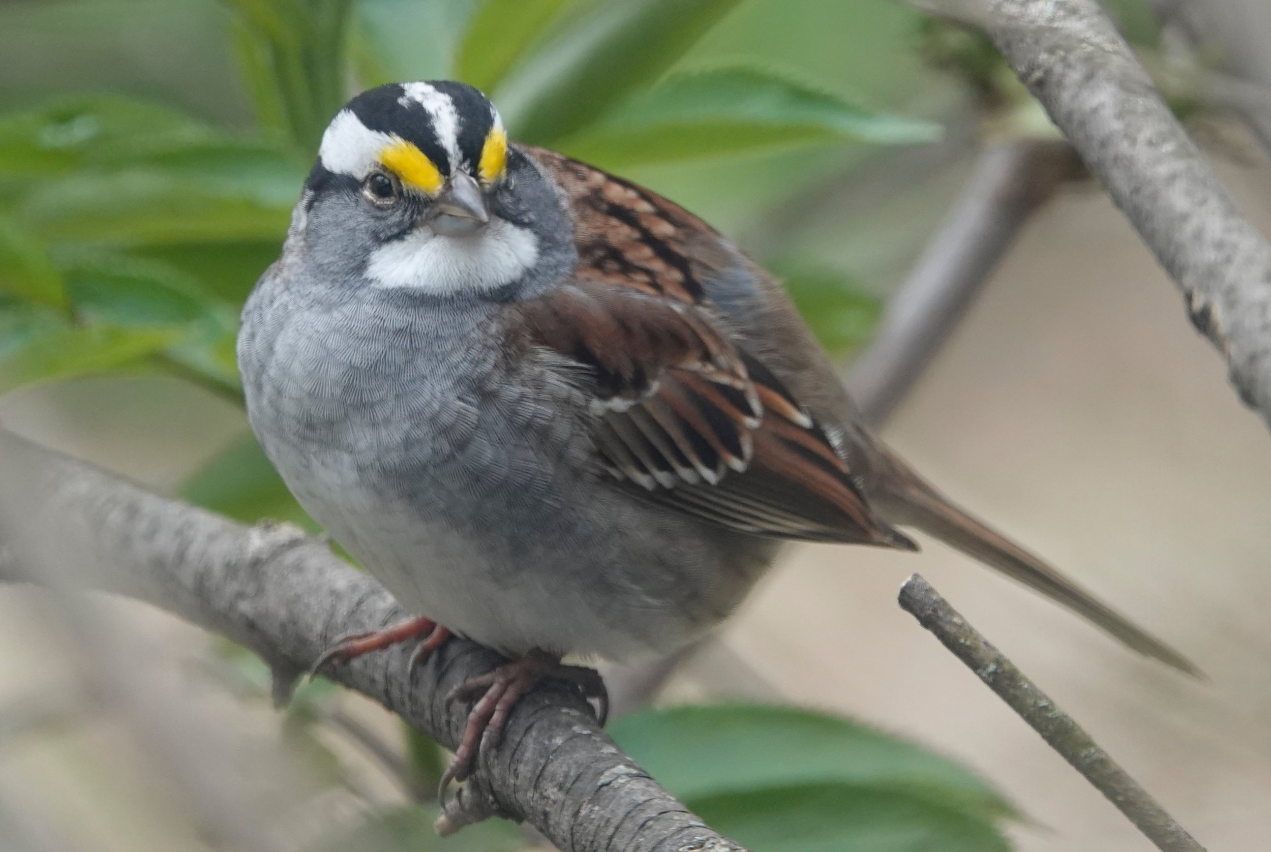 I love hearing the plaintive whistle of the white-throated sparrow.