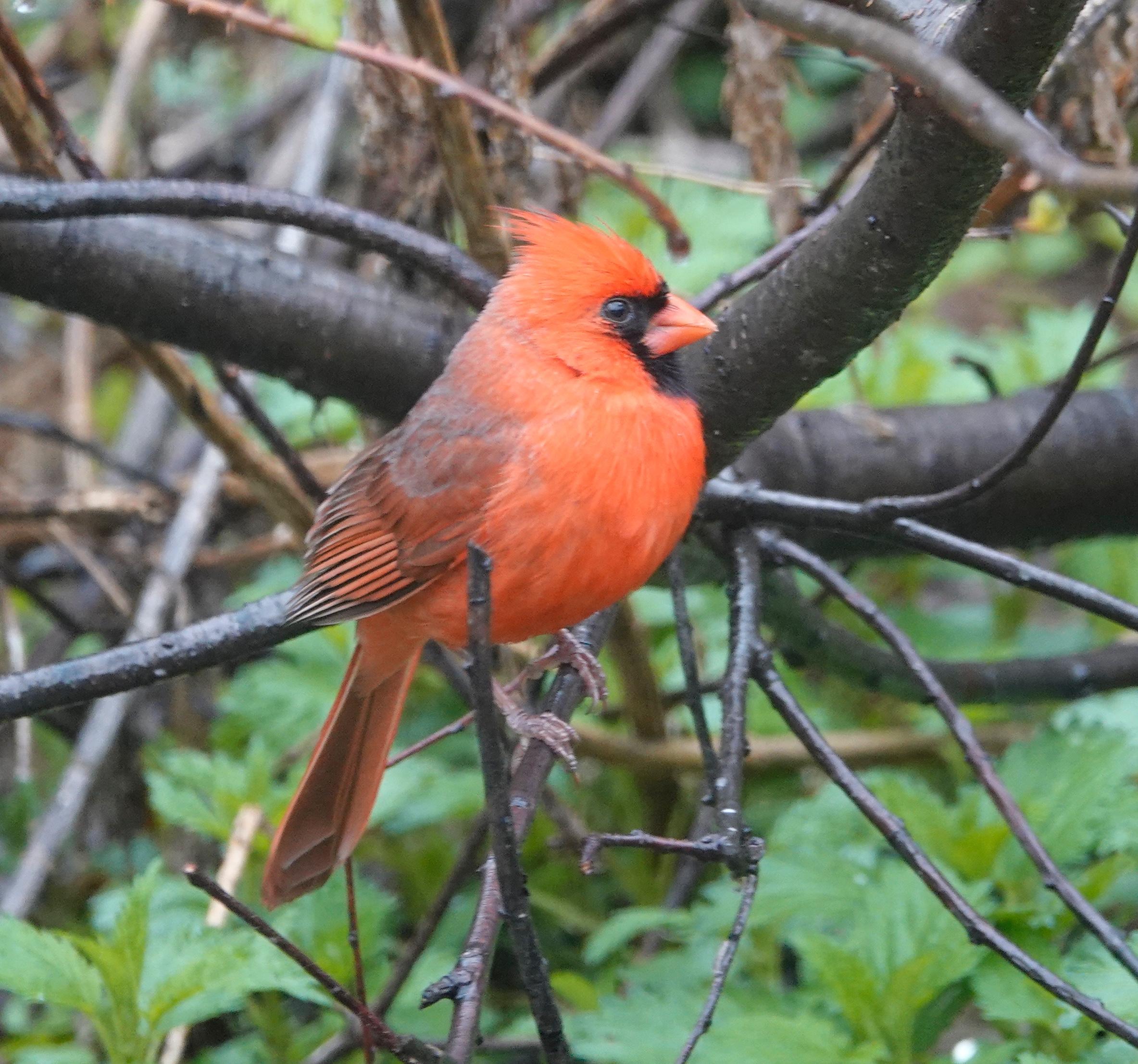 A cardinal's preferred habitat is on a Christmas card.