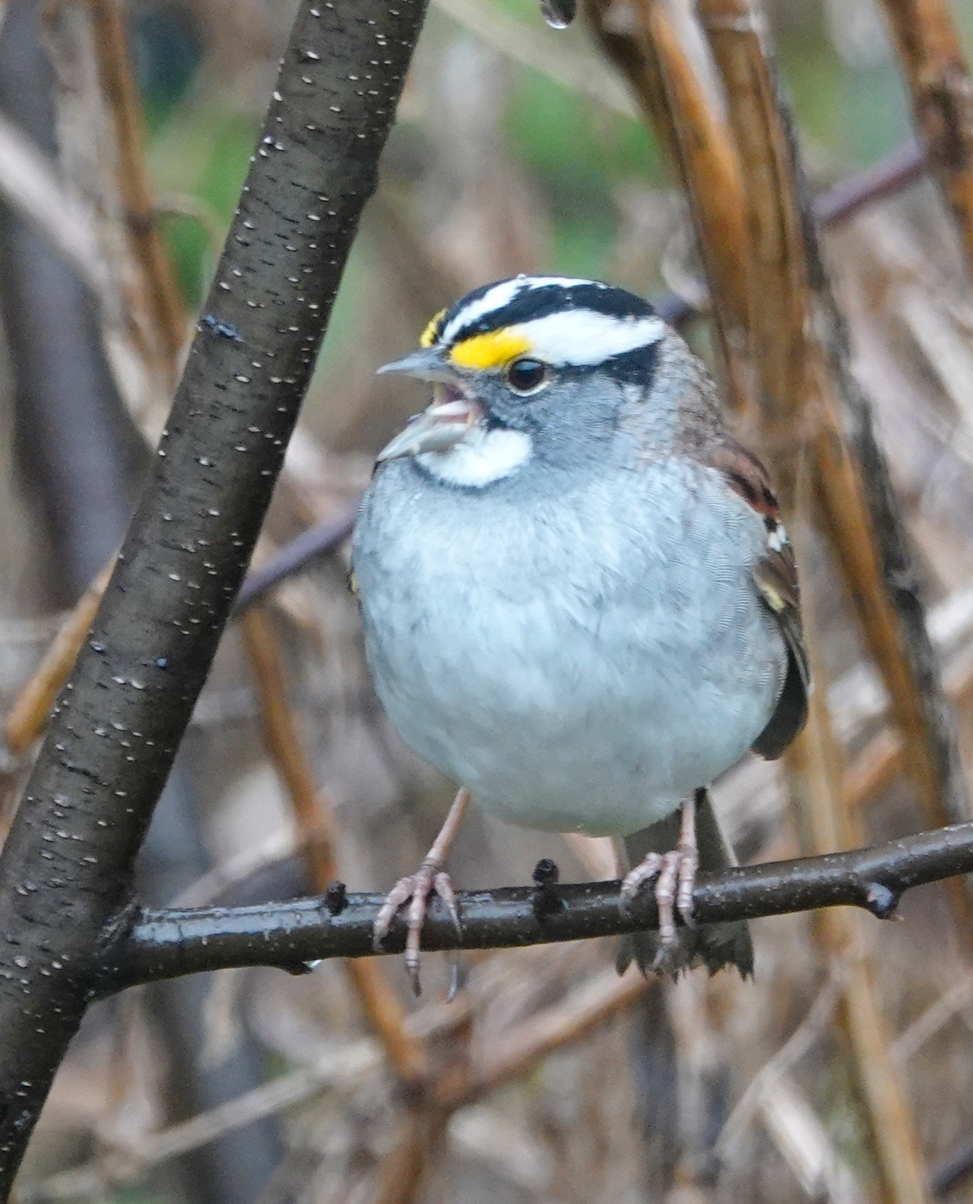 "A white-throated sparrow whistles ""Old Sven Peterson, Peterson, Peterson"" when it's in Minnesota."
