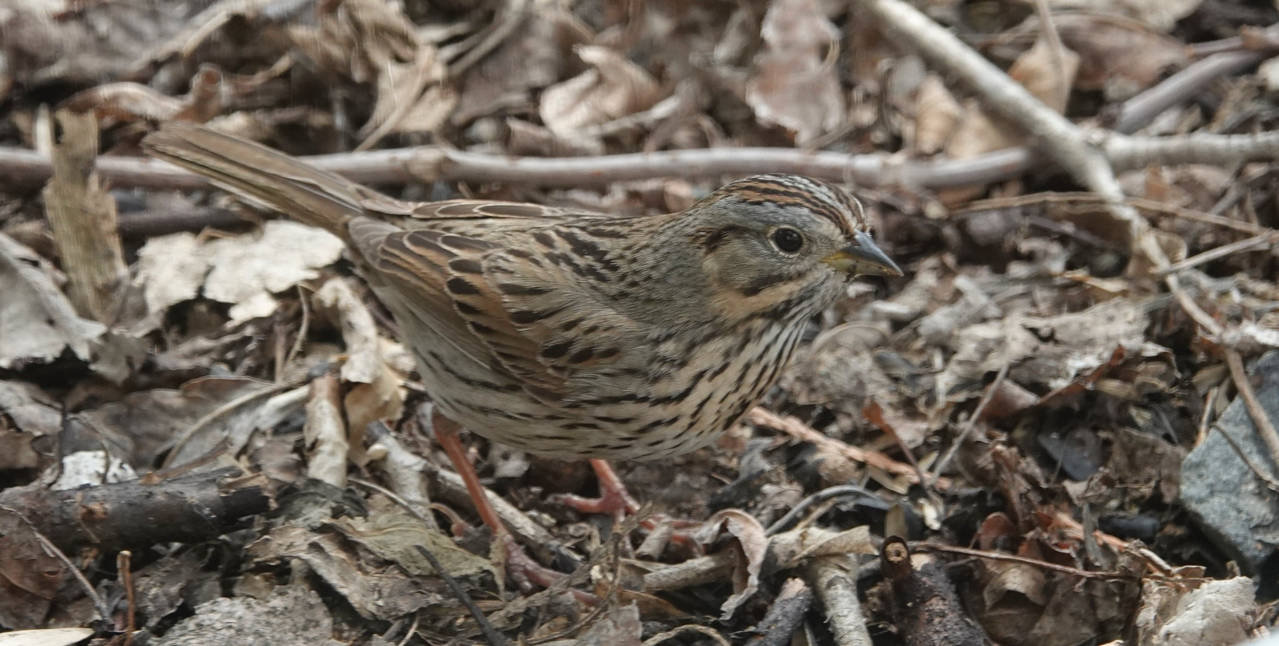 The handsome, little Lincoln's sparrow was named after Tom Lincoln, a son of a friend of Audubon.