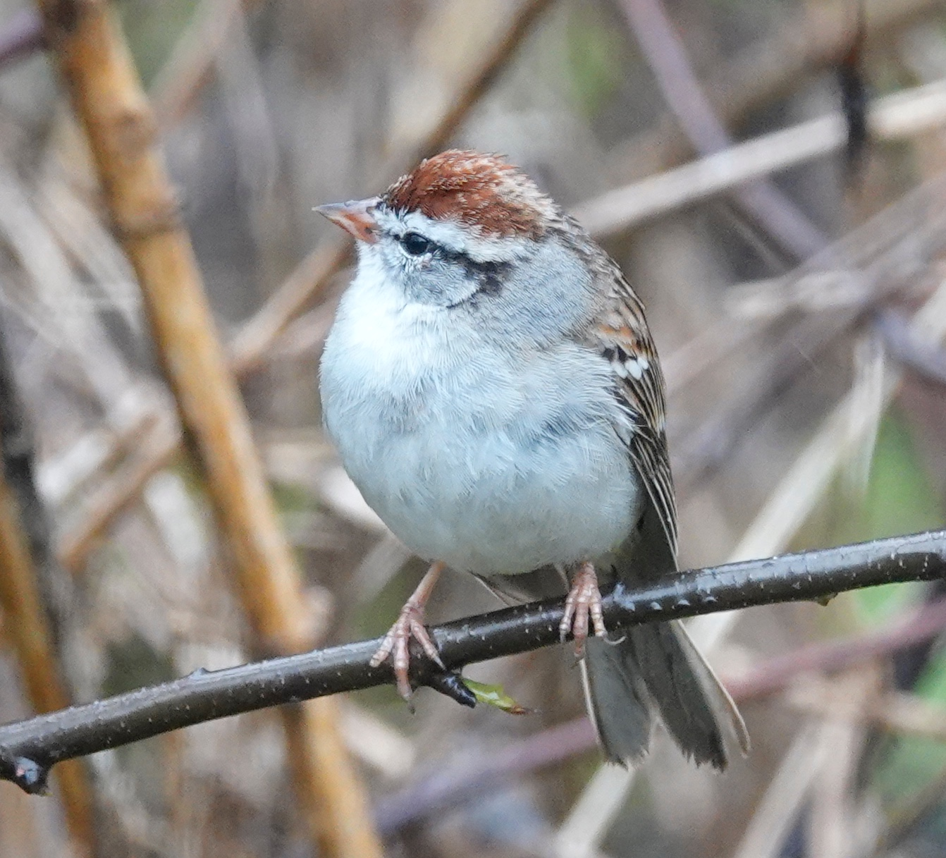 The chipping sparrow chooses to trill more like an insect than like Elvis Presley.