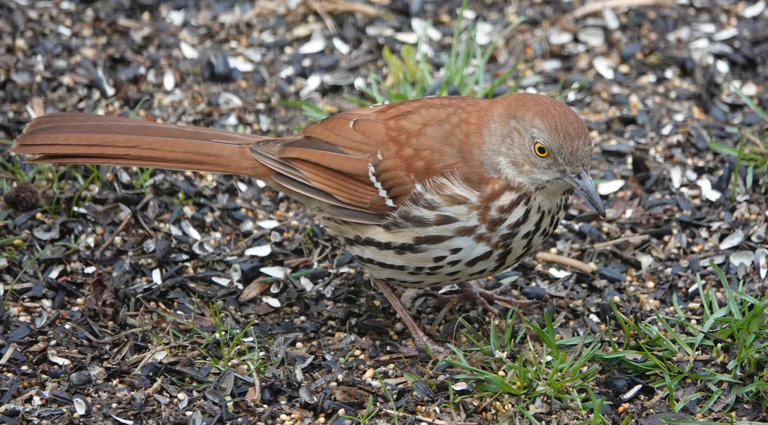 The brown thrasher is one of my favorite birds to see and hear. He repeats himself like any good storyteller.