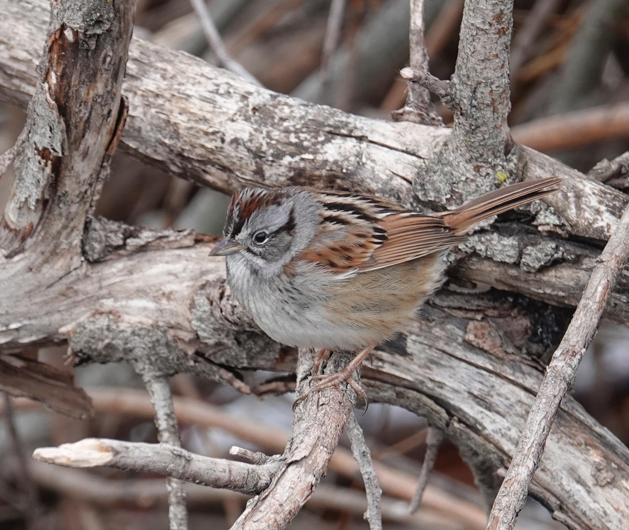 A swamp sparrow is a skulker of swamps and marshes. - Al Batt/Albert Lea Tribune