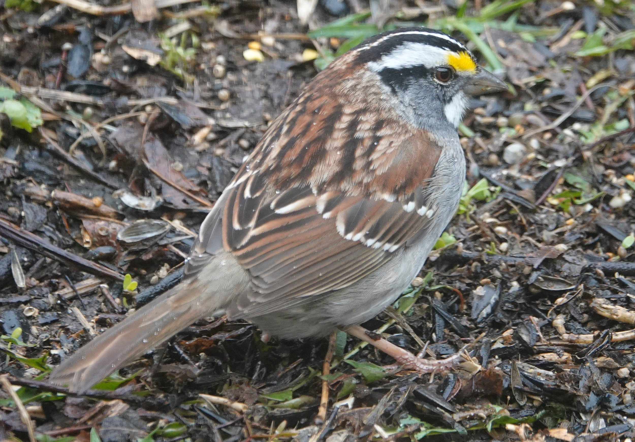 The head stripes on a white-throated sparrow could be white or tan.