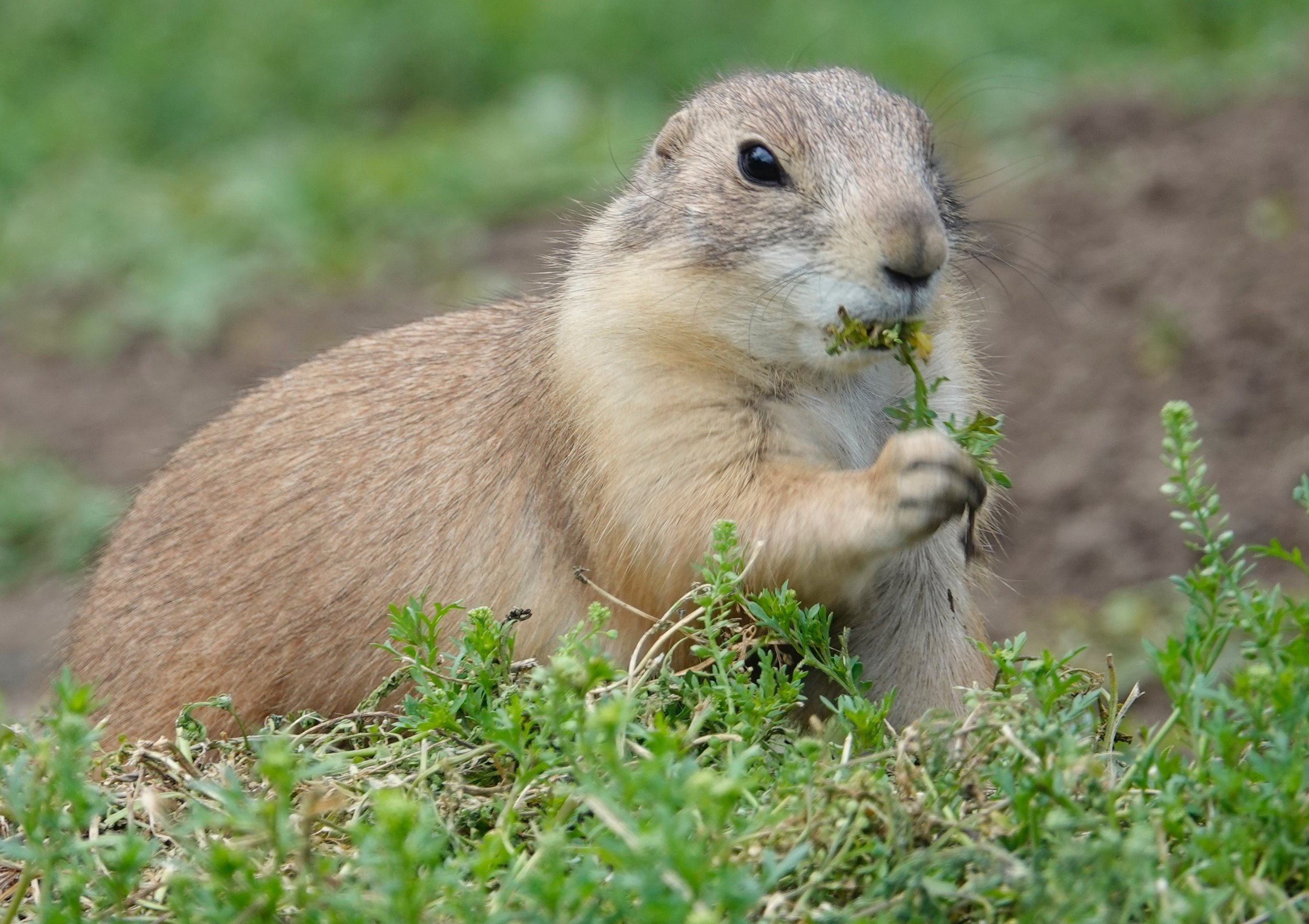 A prairie dog believes in stopping to eat the flowers.