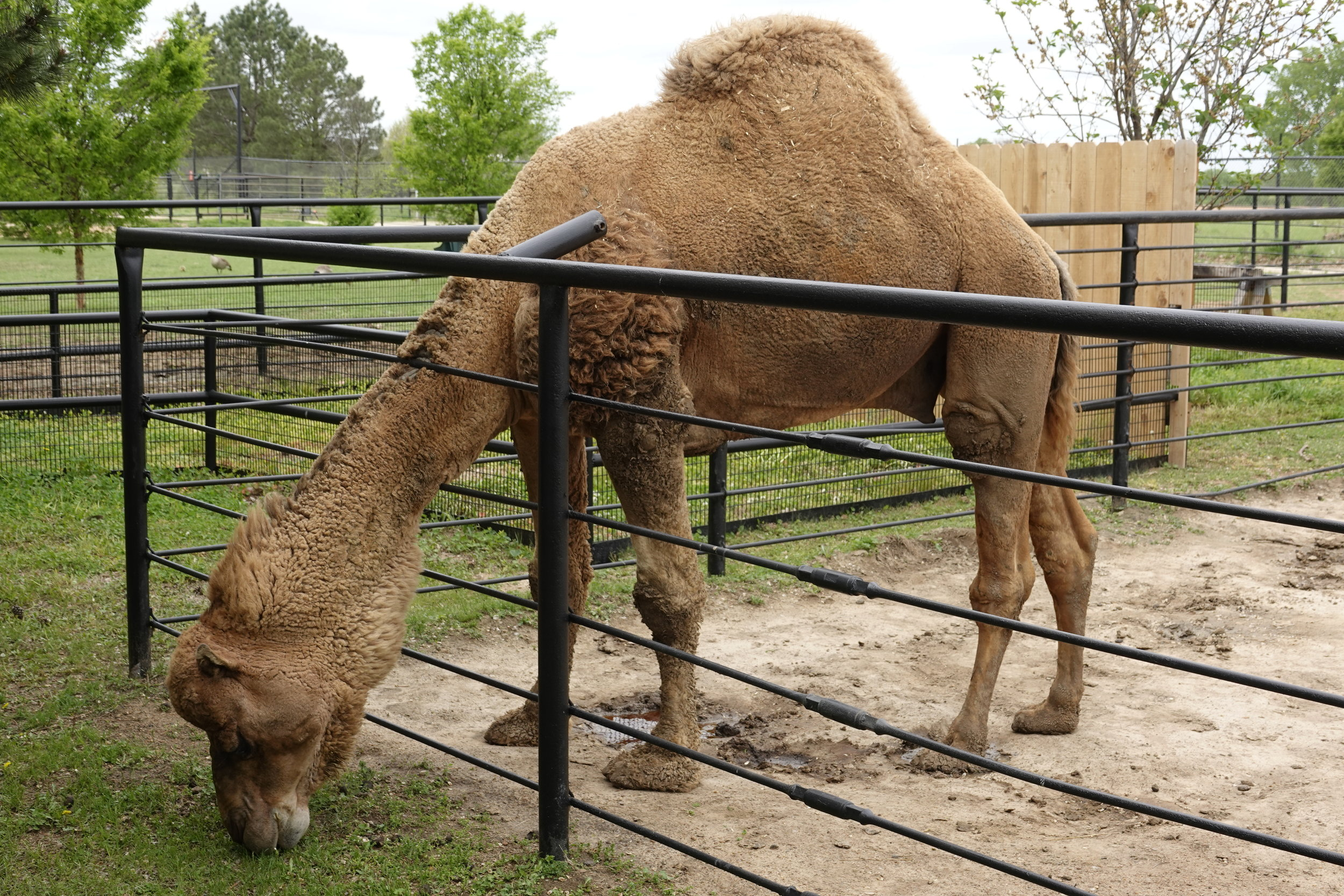 When you're a camel, every day is hump day.