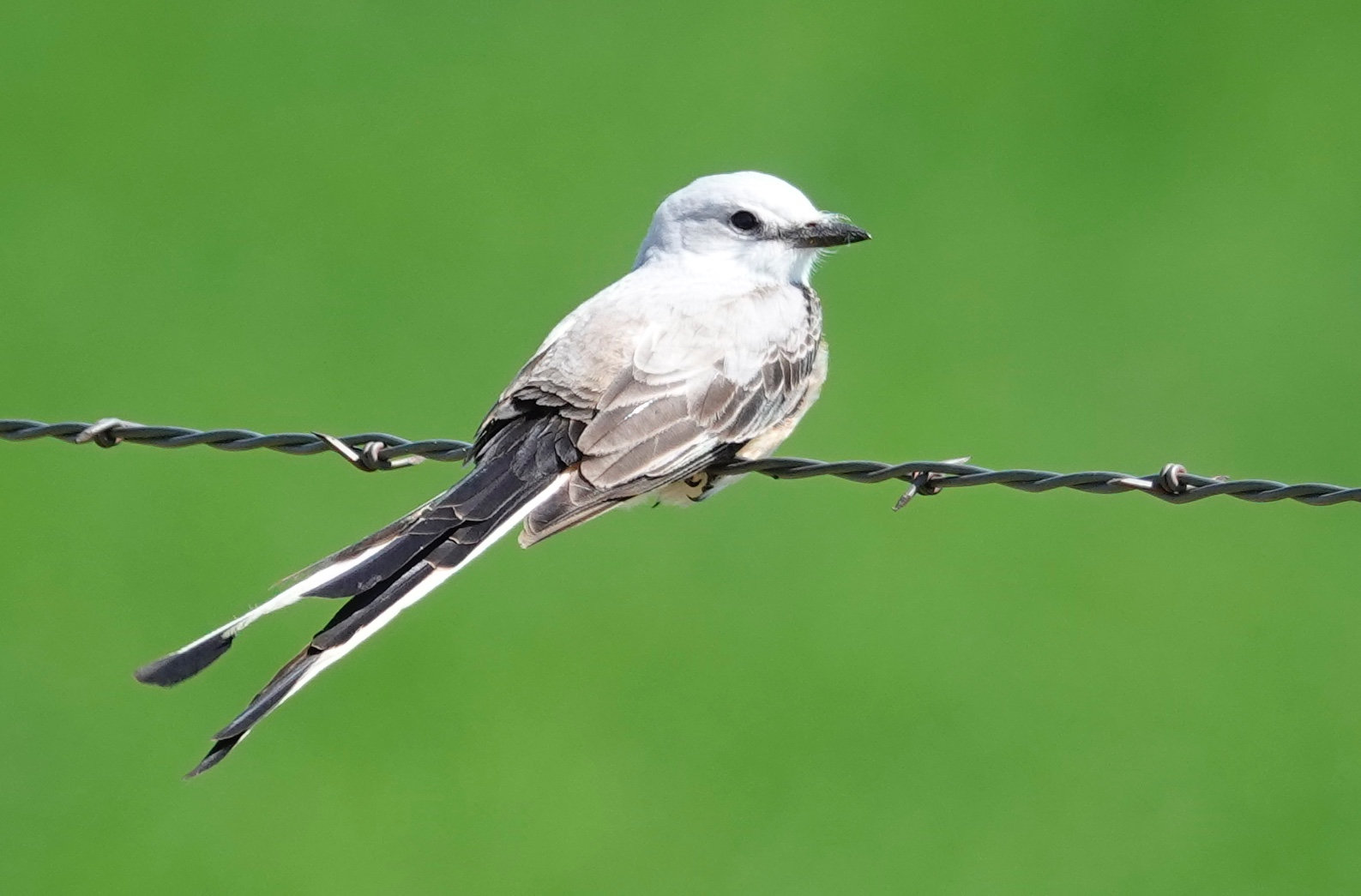 Whenever I see a scissor-tailed flycatcher, I feel like a lucky man.