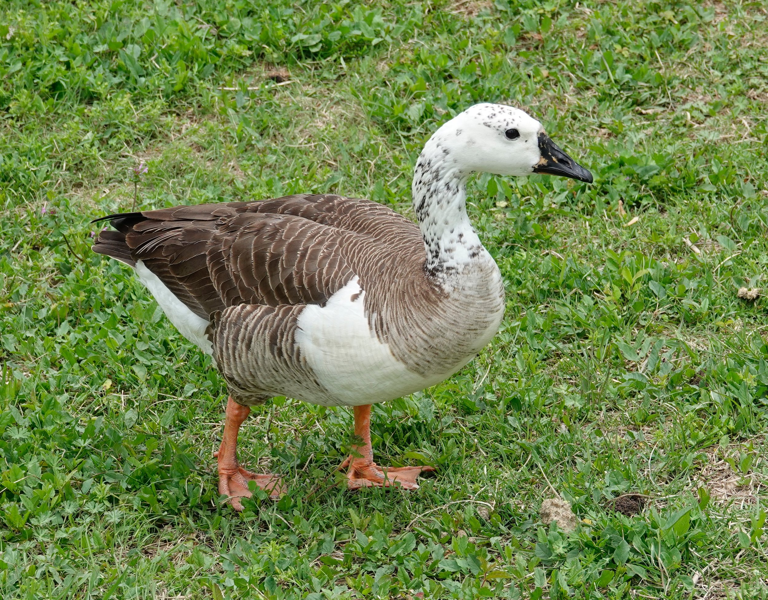 This hybrid is paired up with a Canada goose.