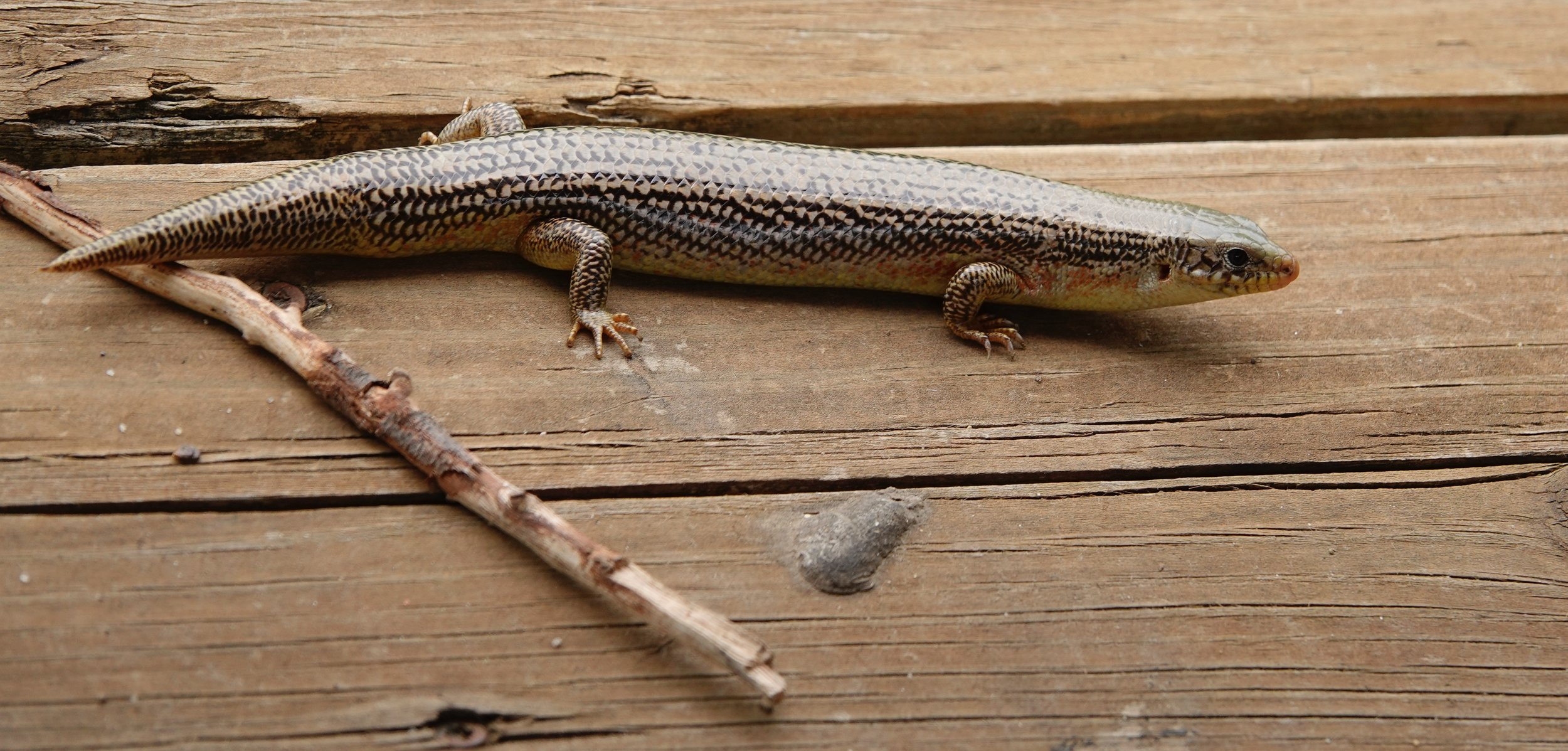 I pointed out a skink that looked as if someone had been trying to teach it to fetch a stick when the Kansan I 'd been hiking with, told me the animal was a sign of rain. I smiled in disbelief, but it rained.