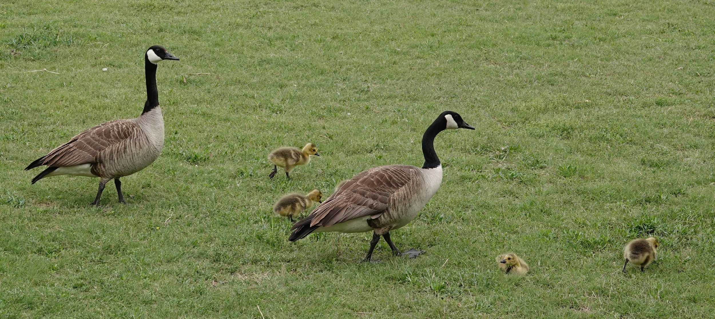 Goslings learning how to mow the lawn.