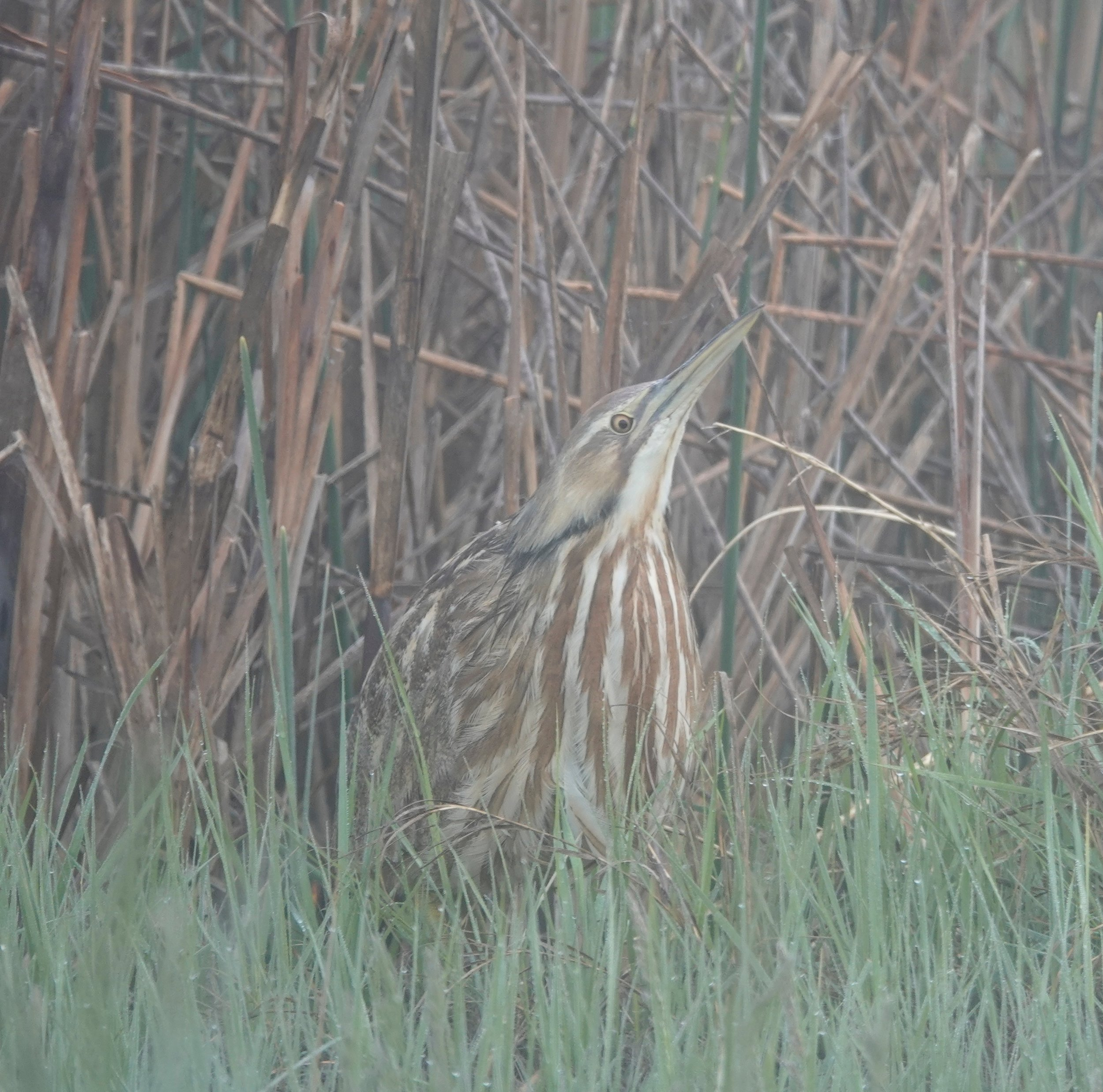 An American bittern pretending to be marsh vegetation in the sneeze of a misty morning.