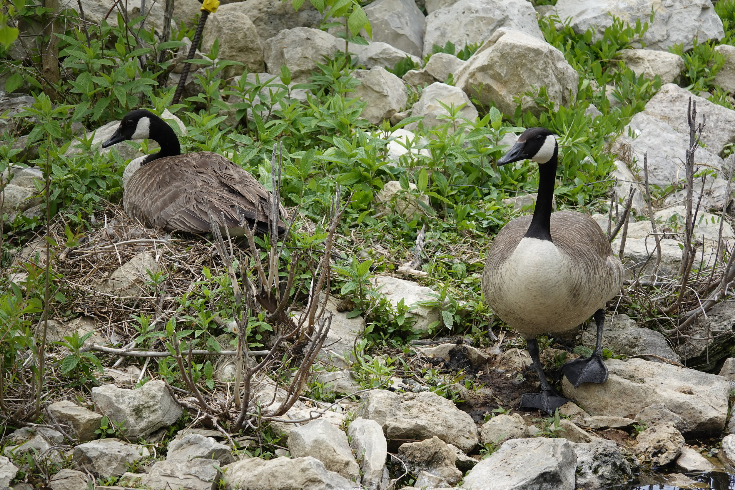 A nesting pair of Canada geese. Their relationship was on the rocks.