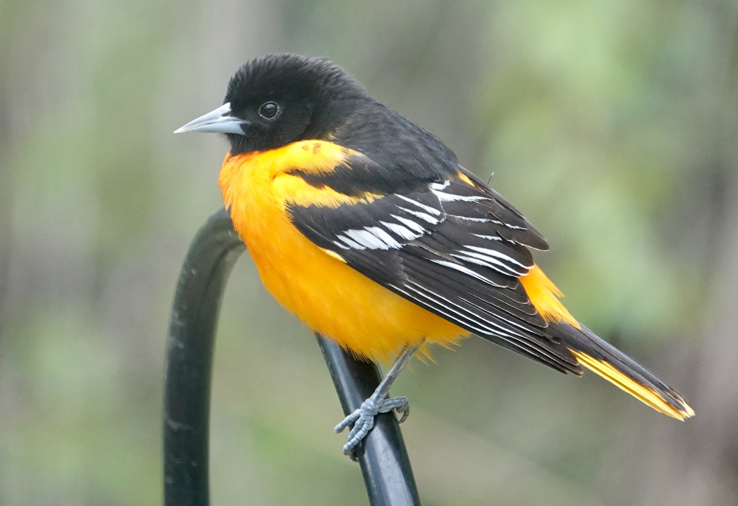 This Baltimore oriole has never played against the Minnesota Twins.