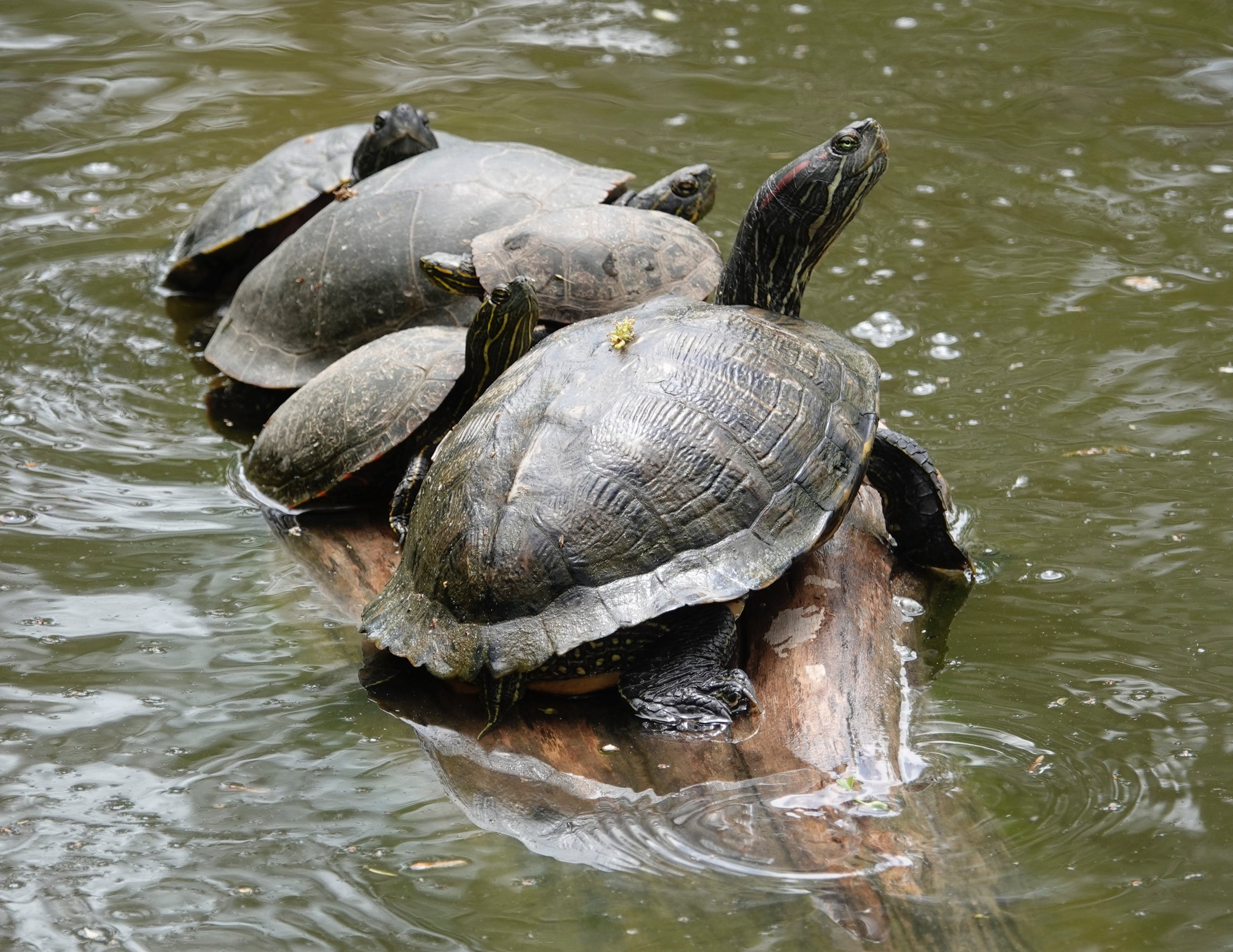 A red-eared slider hanging out with its buddies.