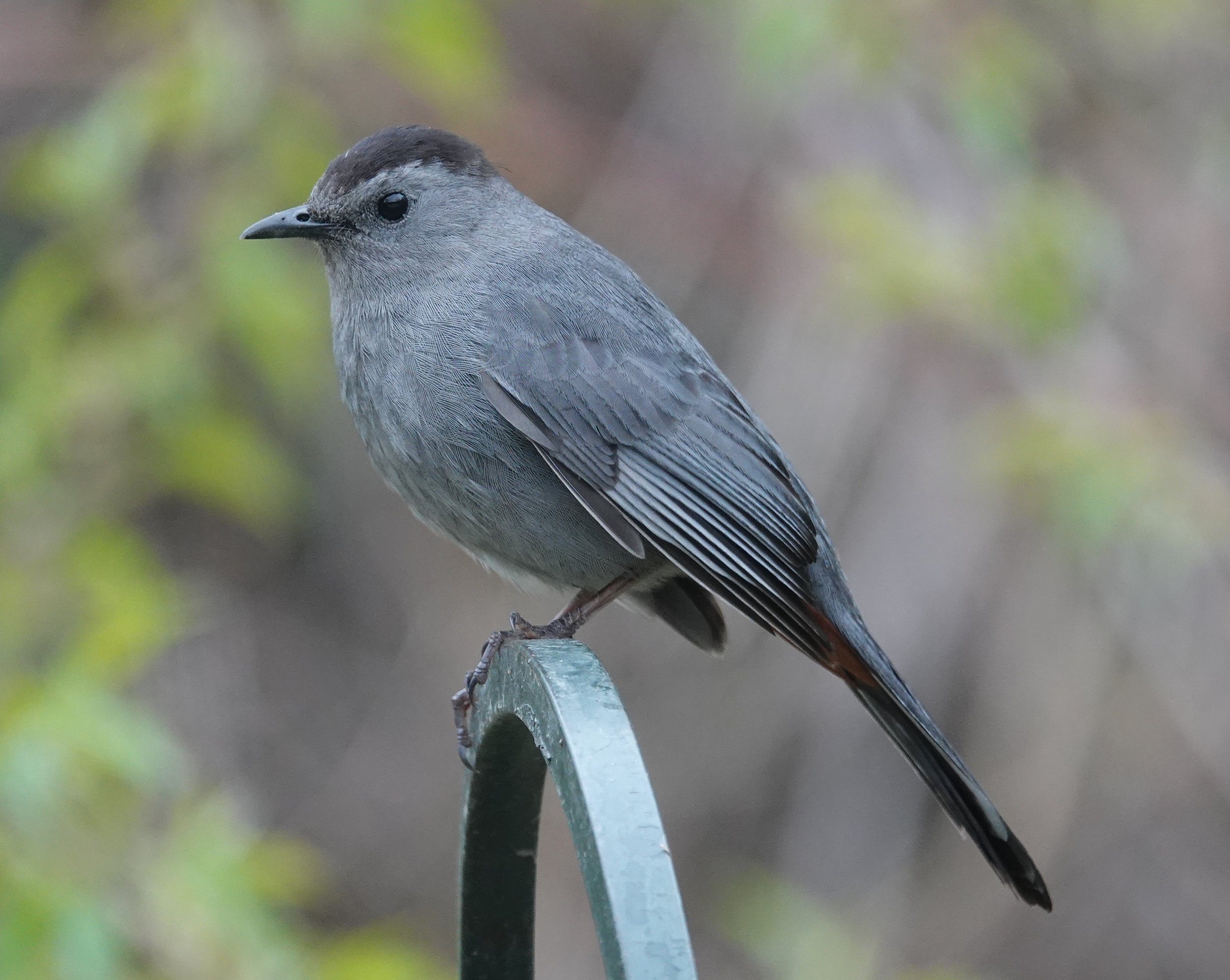 There is a hint of the rufous undertail coverts on this gray catbird.