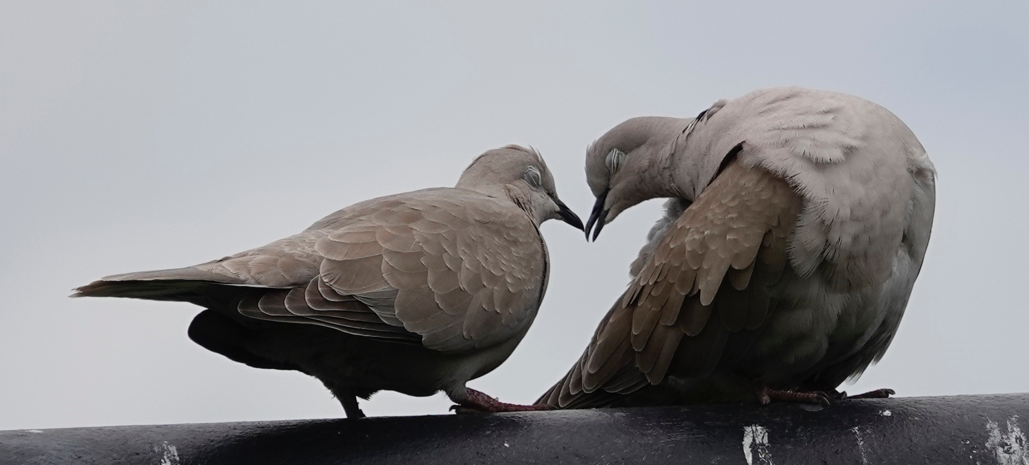 Lovey-dovey Eurasian collared-doves.