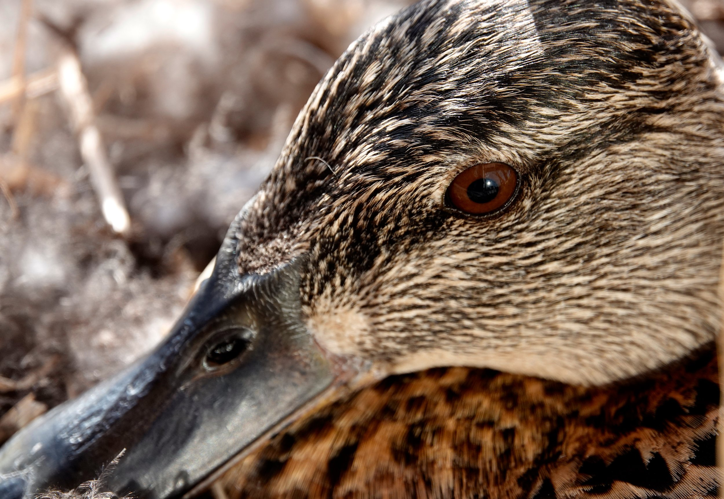 The eye of a mallard hen.
