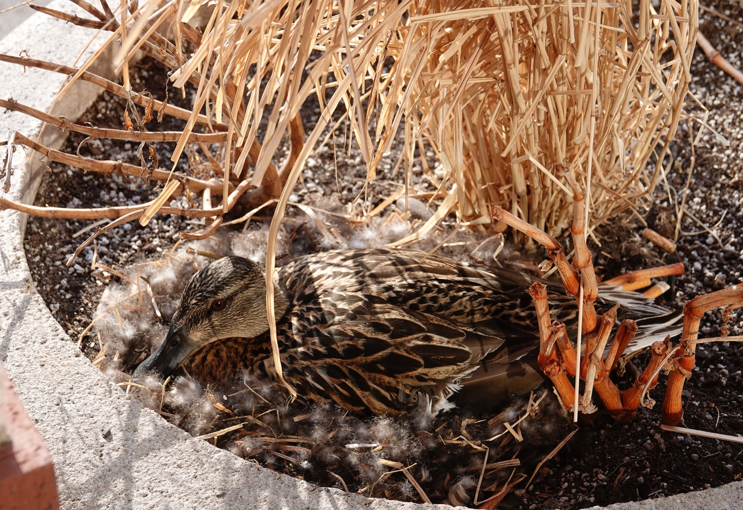 This mallard is nesting in a planter outside a busy bookstore. I hope she wasn't the one smoking the cigarettes.