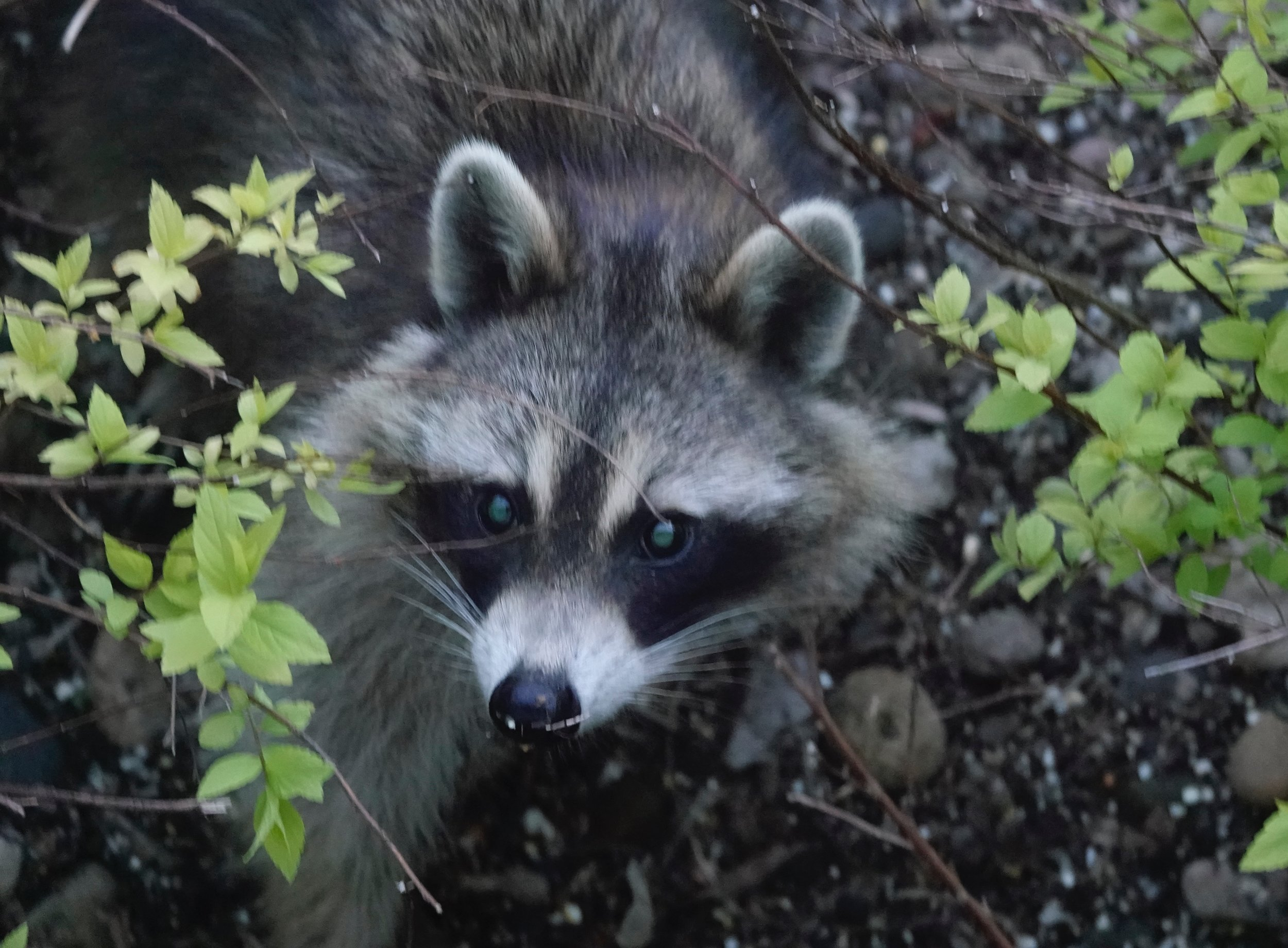 Rocky Raccoon checked into his room. This raccoon is no Rocky. It checks into my bird feeders at dusk.
