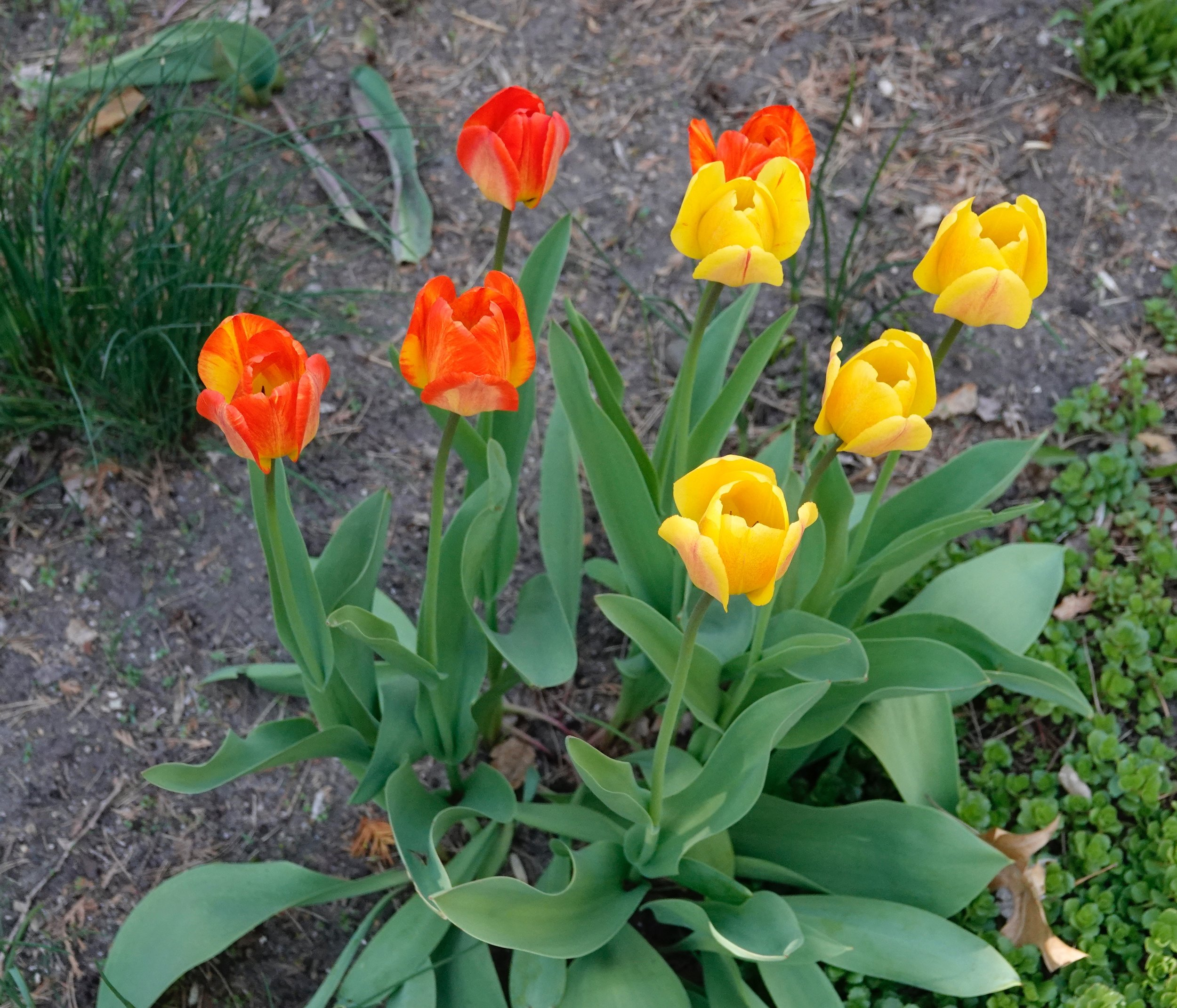 It's easy to become too lippy about tulips.
