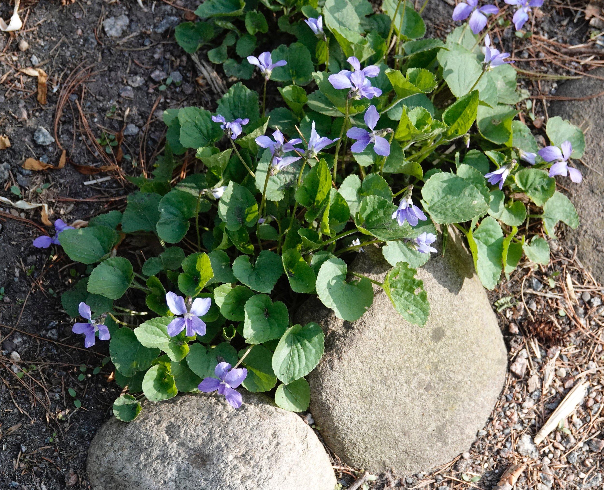 Violets rock.