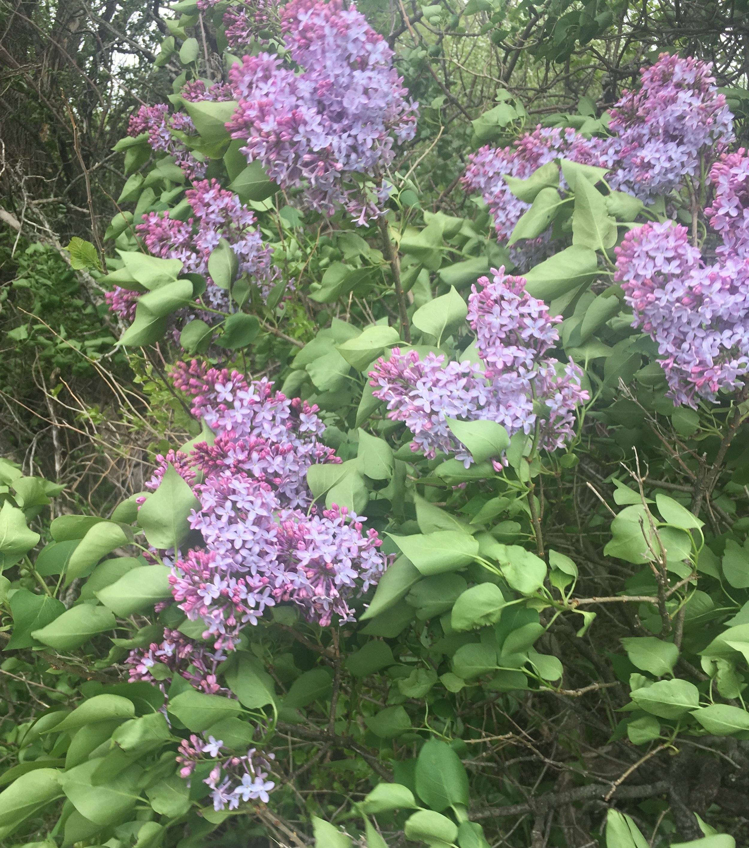 I love the smell of lilacs in the morning.