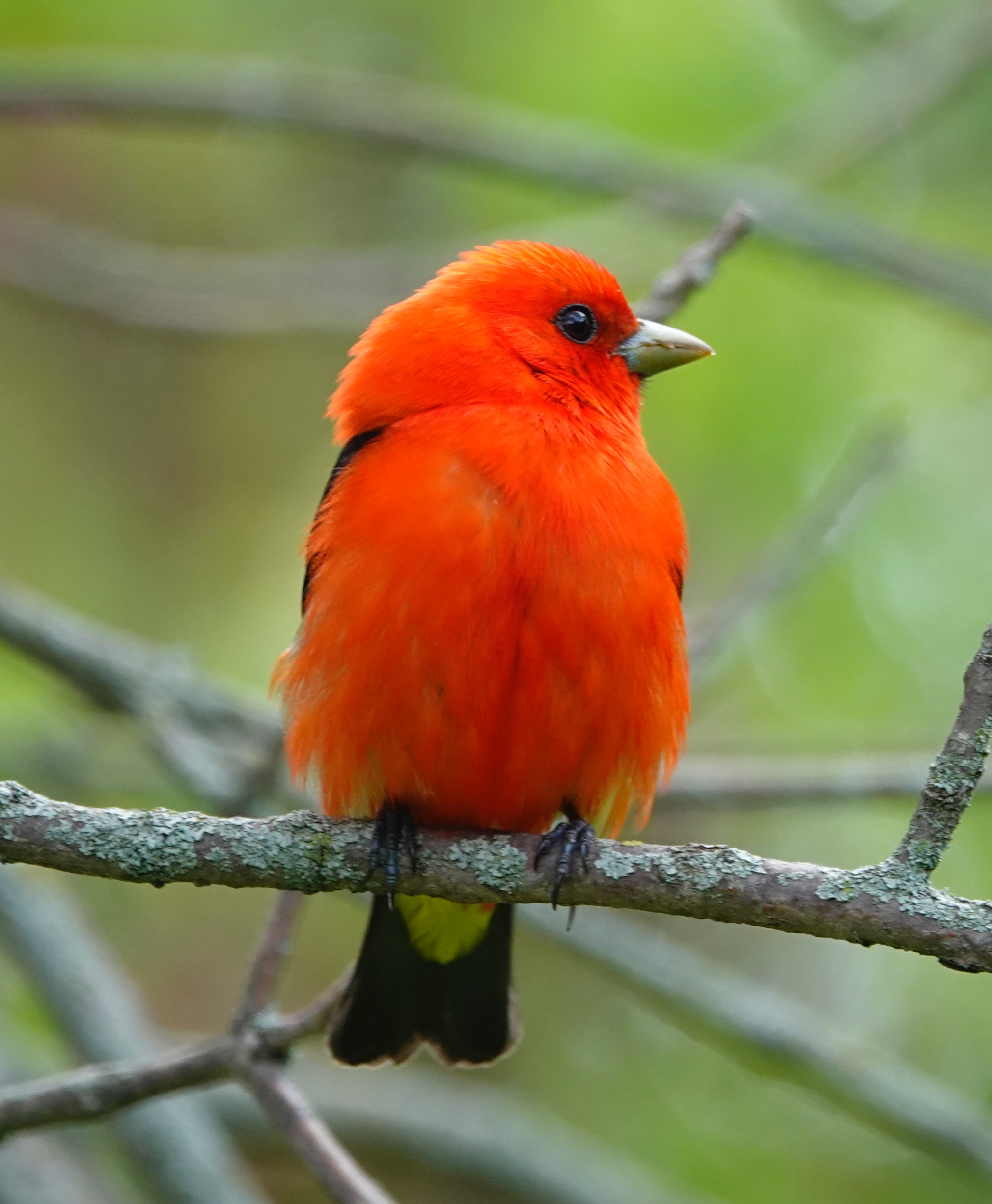 "A scarlet tanager's song has been compared to that of a ""robin with a sore throat."""