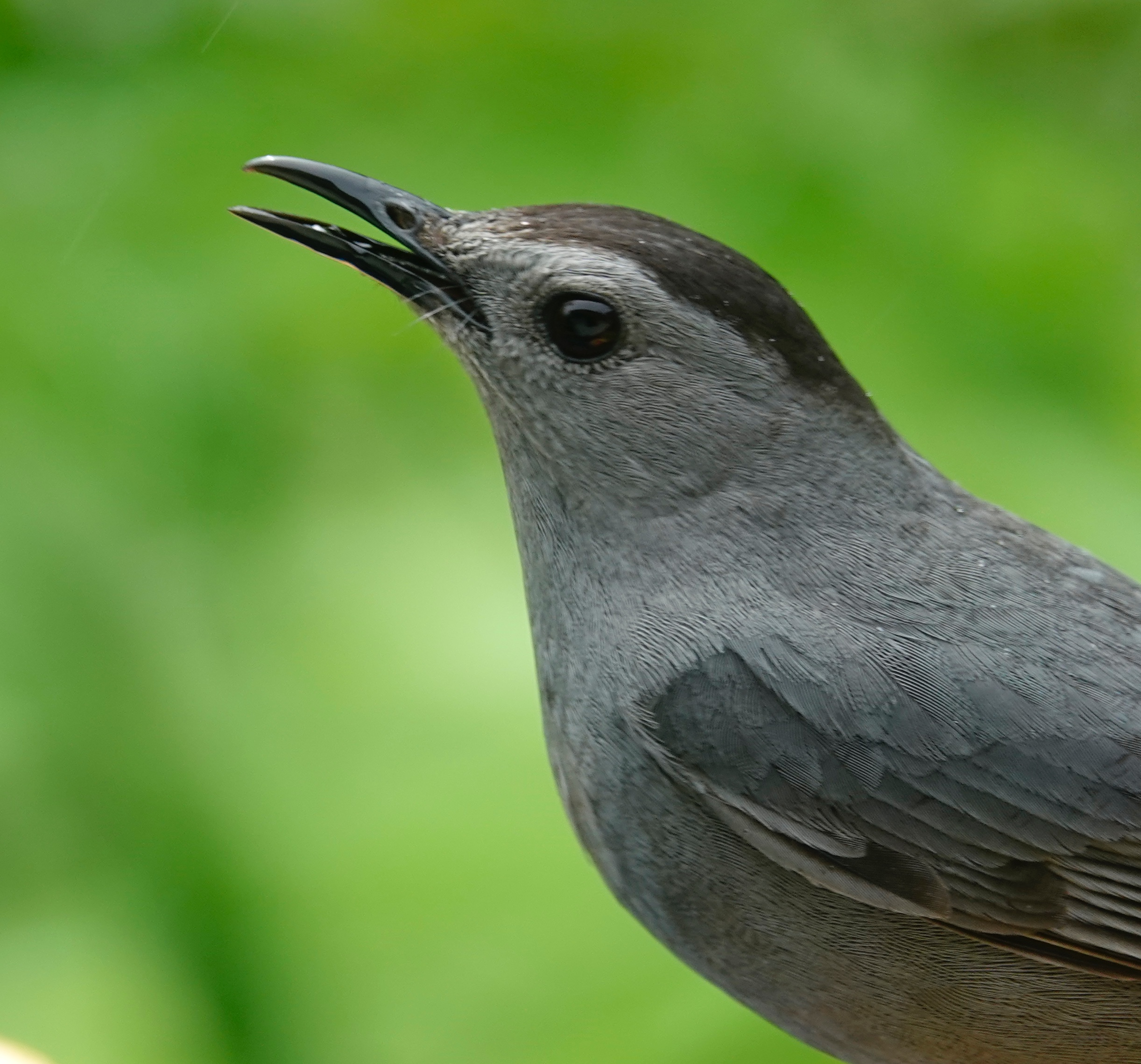 A meowing gray catbird.