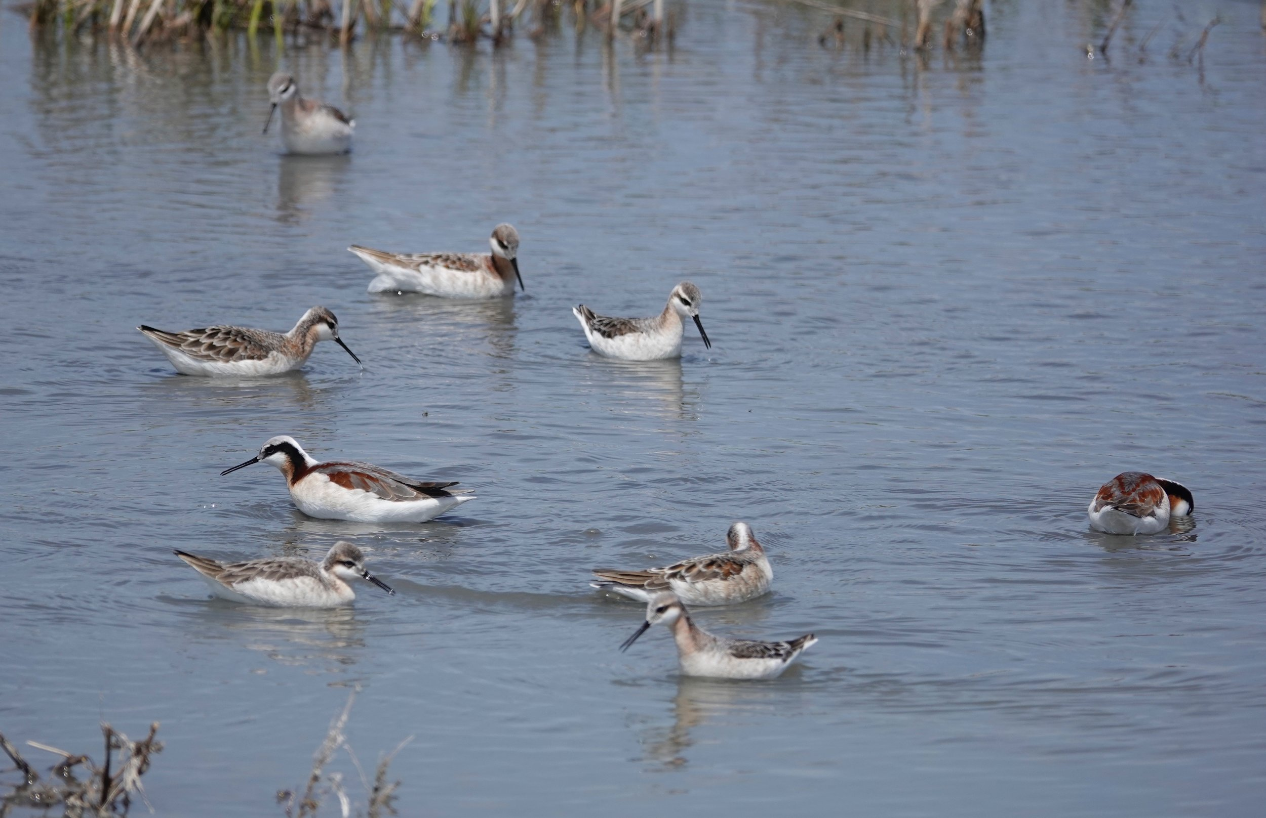 Wilson's Phalaropes at a spin class. The females are more colorful than the males. They spin in circles to create whirlpools that suck food to the water's surface.