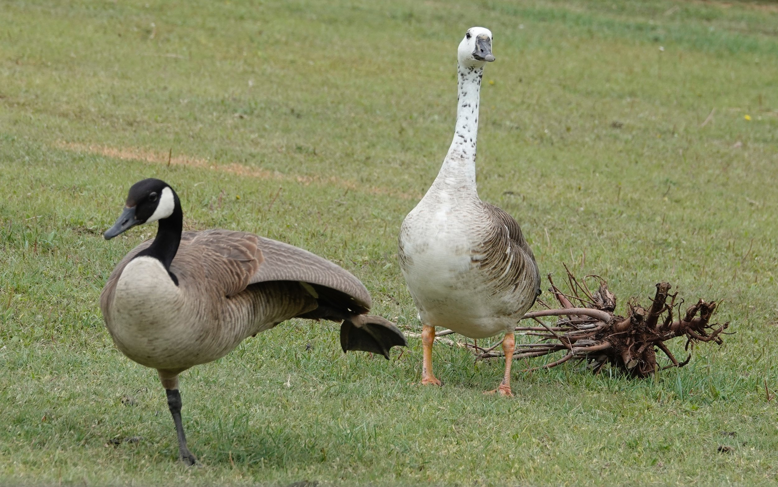 Karate class for geese.