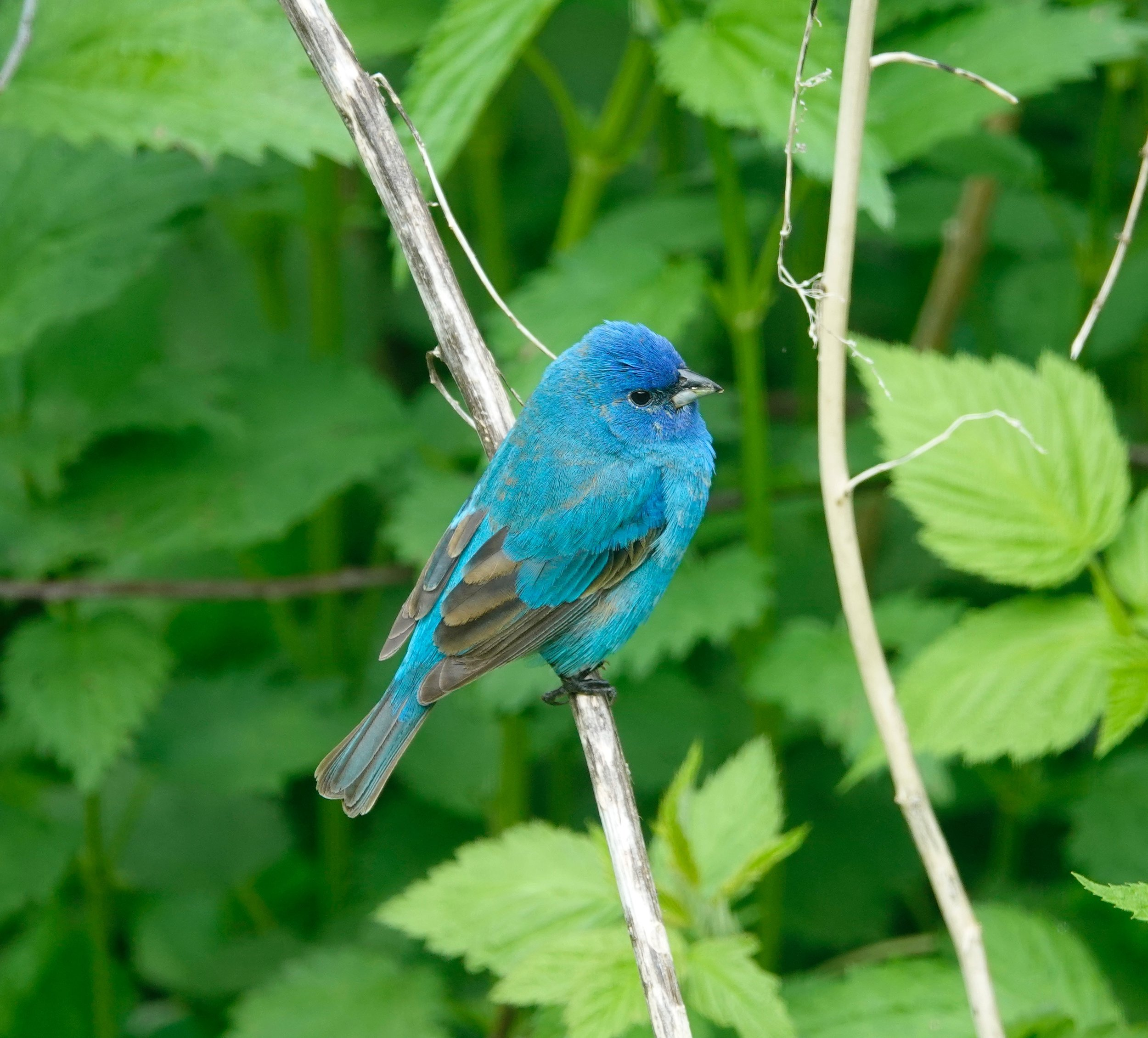 Blue on green.  Indigo Bunting.