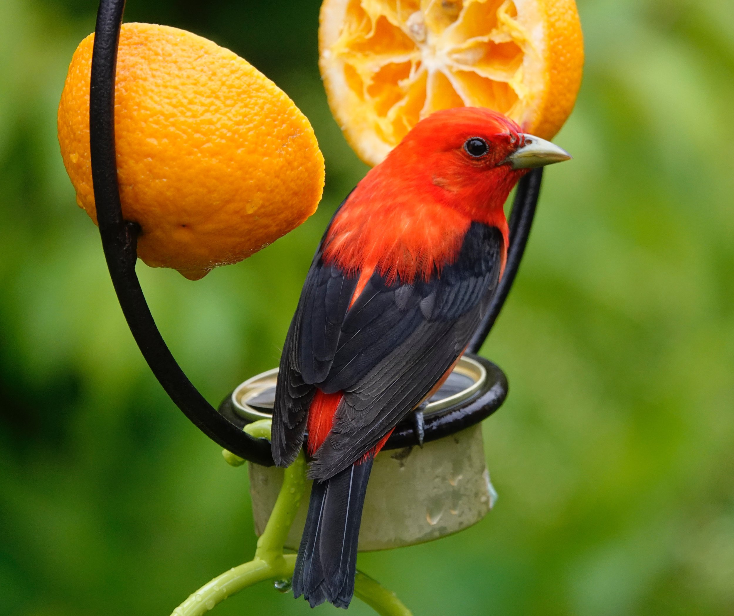 Orange plus grape jelly equals scarlet tanager.