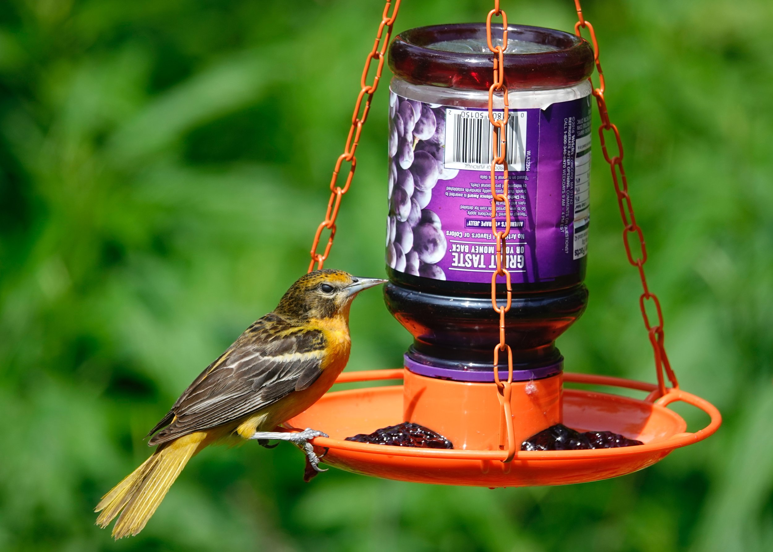 A jelly jar feeder is a popular item.