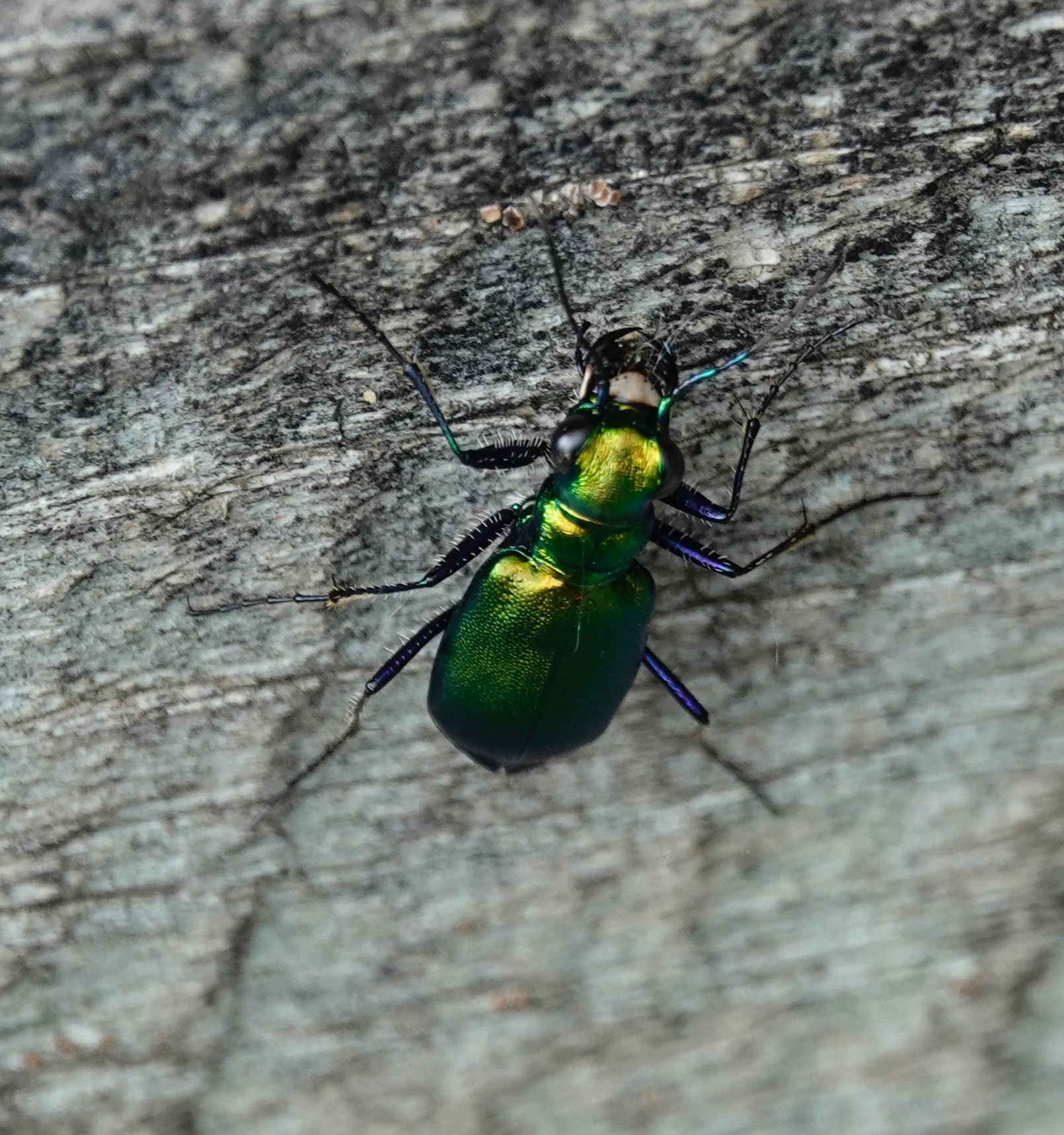 Tiger beetles are fast runners and amazing sights.