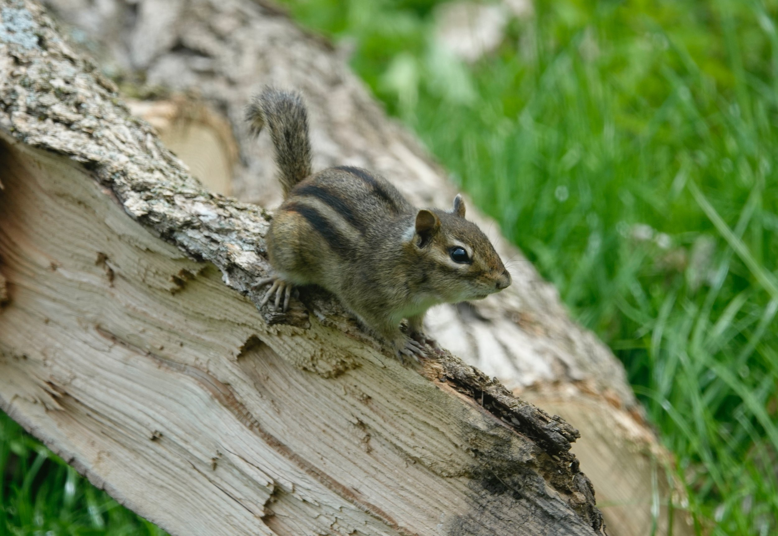 This chipmunk was chipping as if it had chopped down the tree.