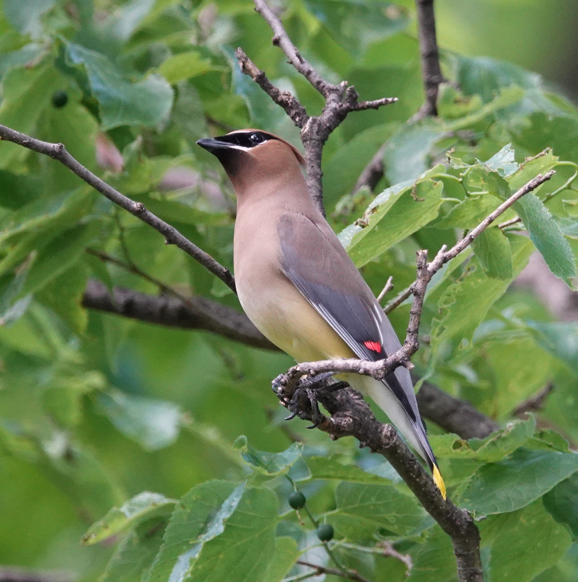It's always a plumb pleasure for me to see a cedar waxwing.