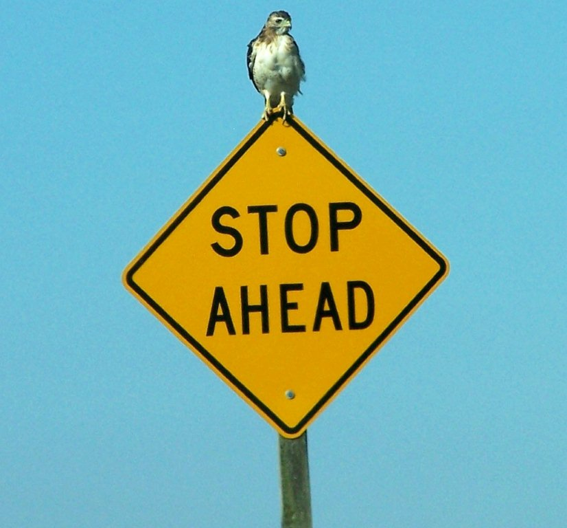 This red-tailed hawk makes sure every vole comes to a complete stop.