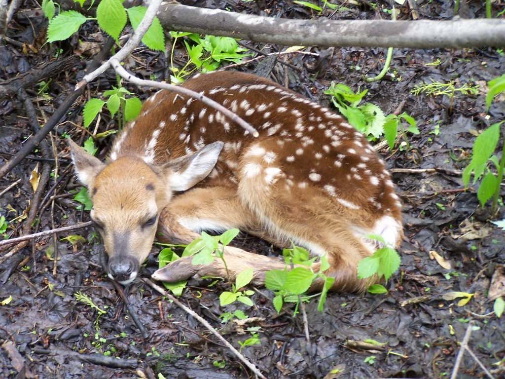 A fawn hiding in plain sight.