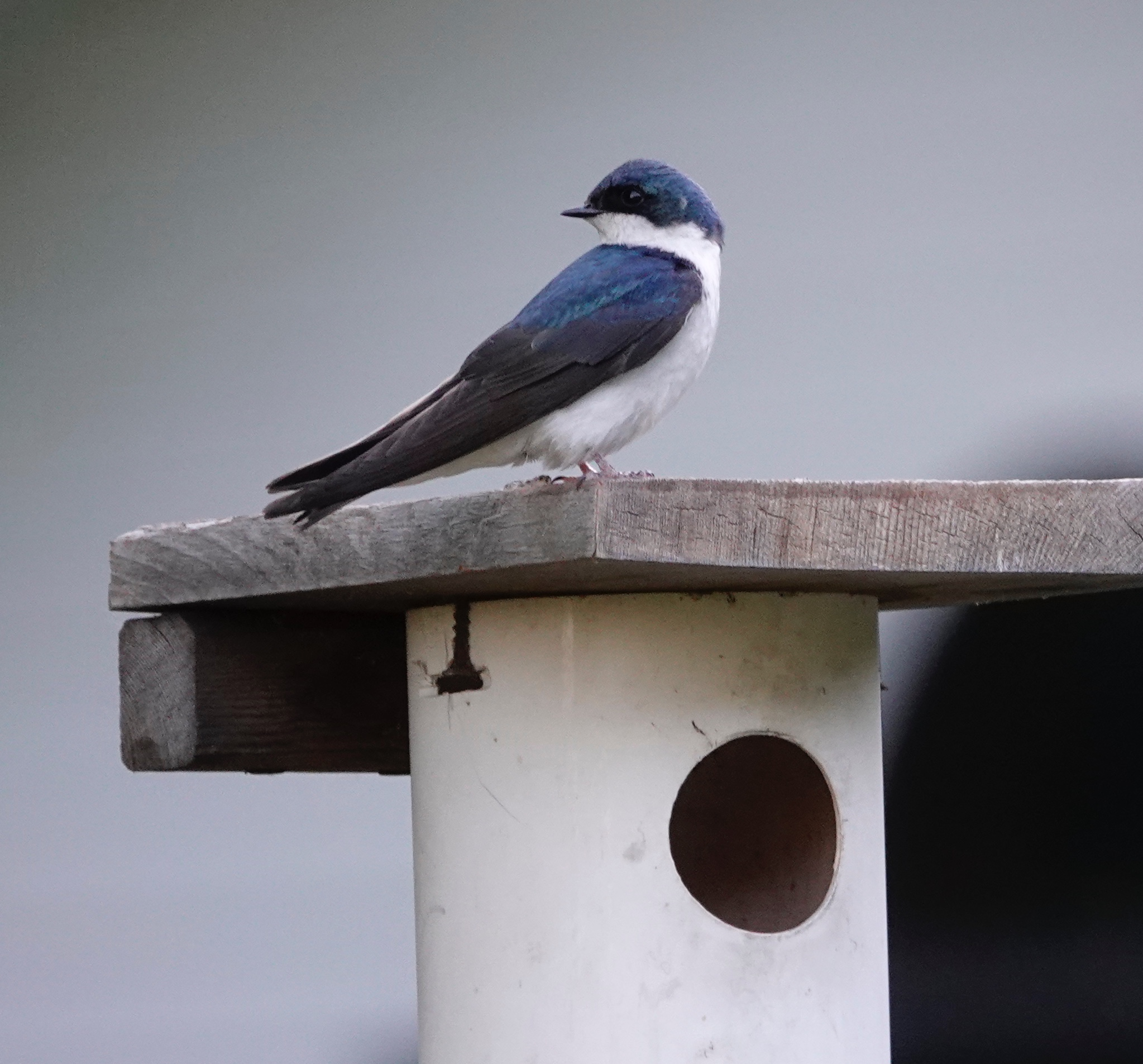 The new neighbors (tree swallows) seem nice.