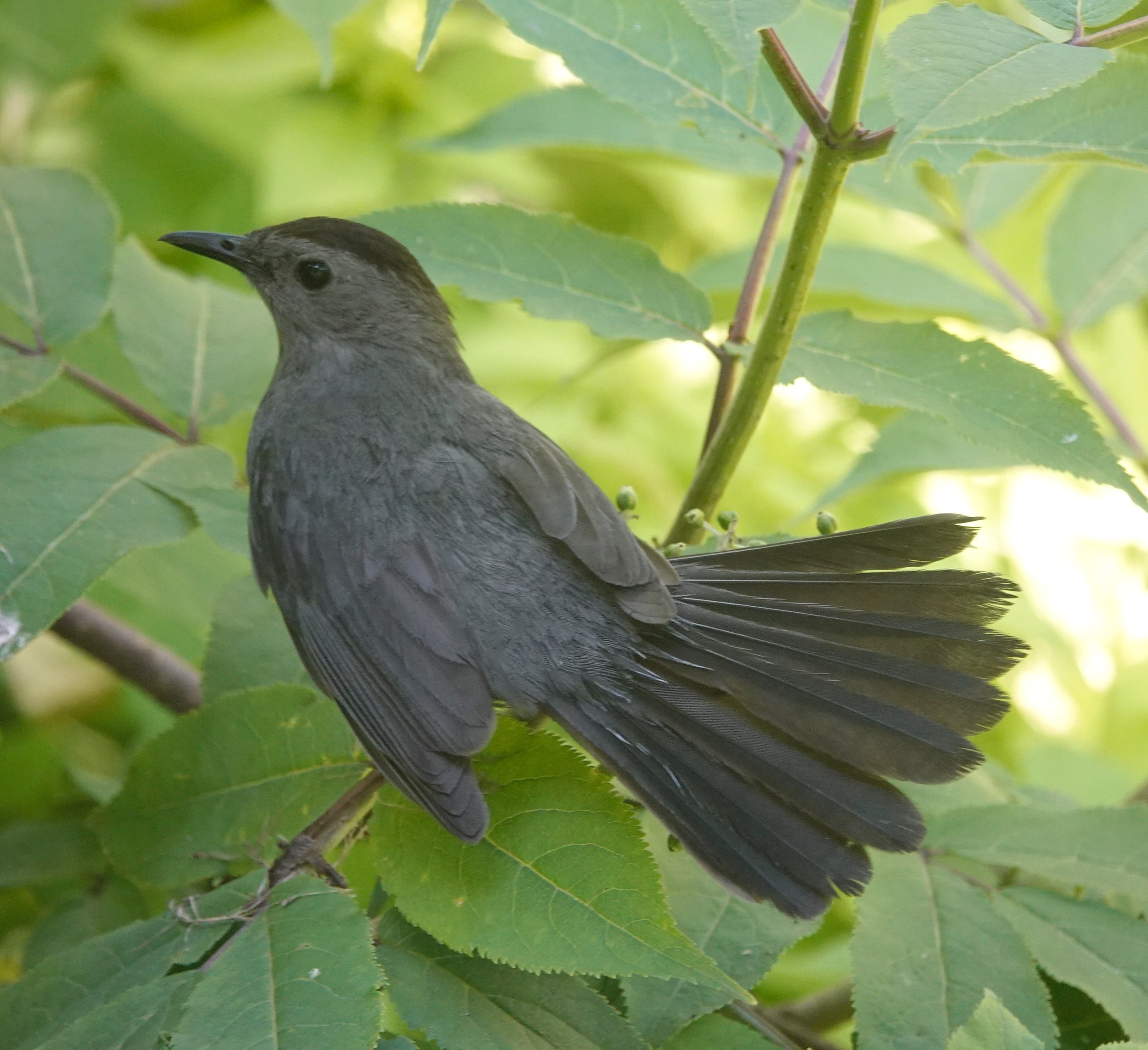 A catbird dances to music only it can hear.