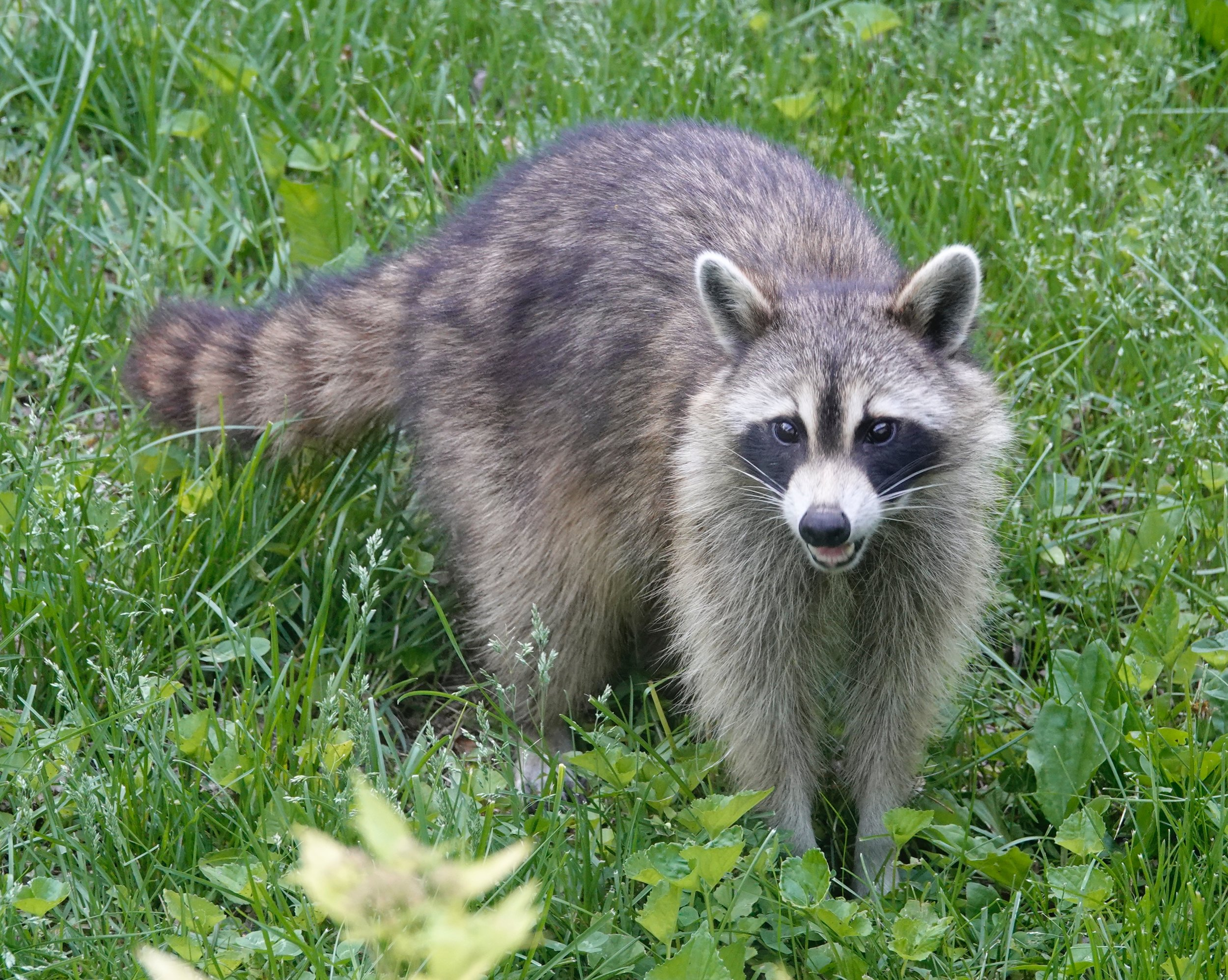 A raccoon is a trash-diving omnivore extraordinaire.