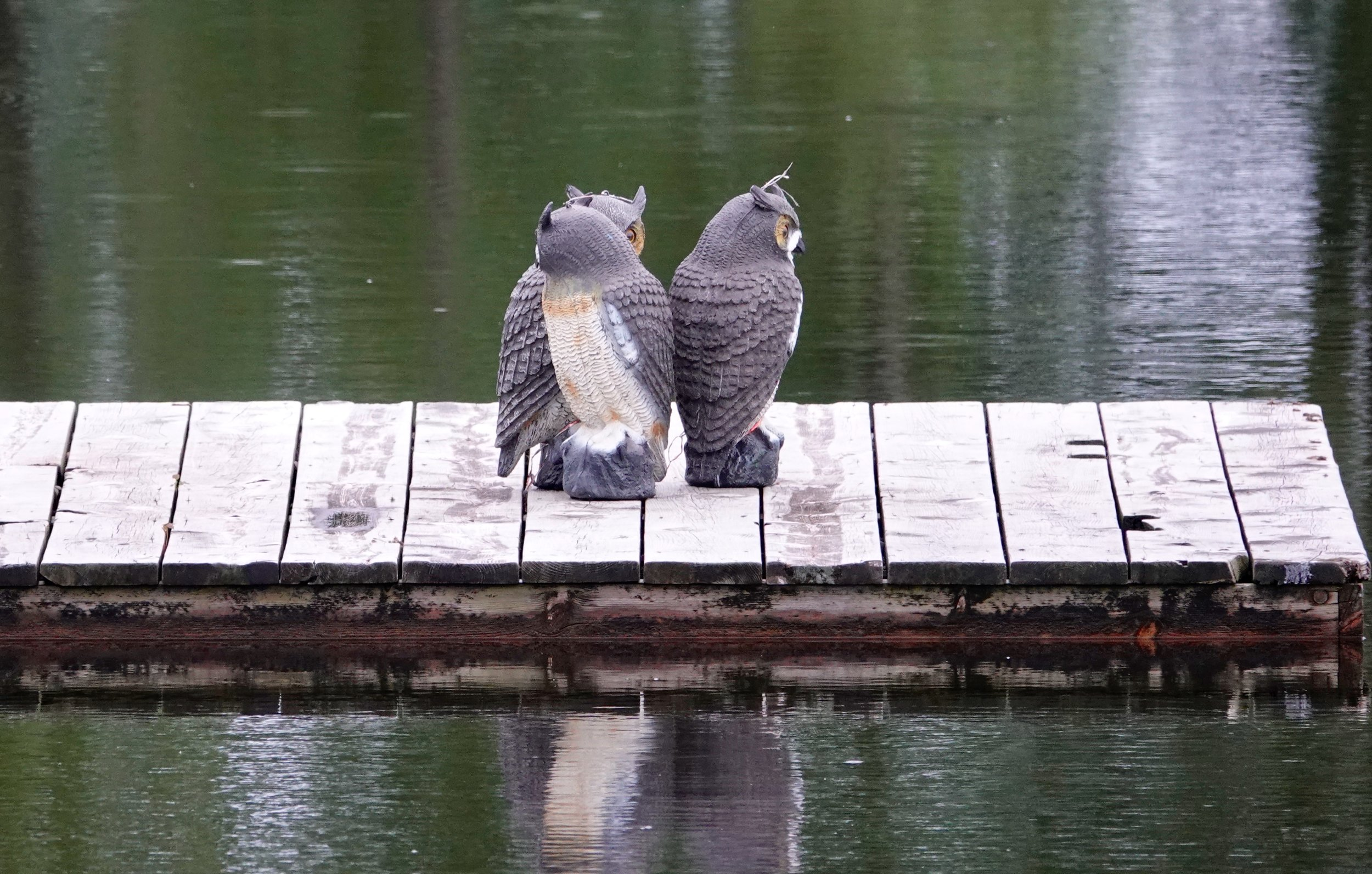 Fake owls frightened together by real ducks.
