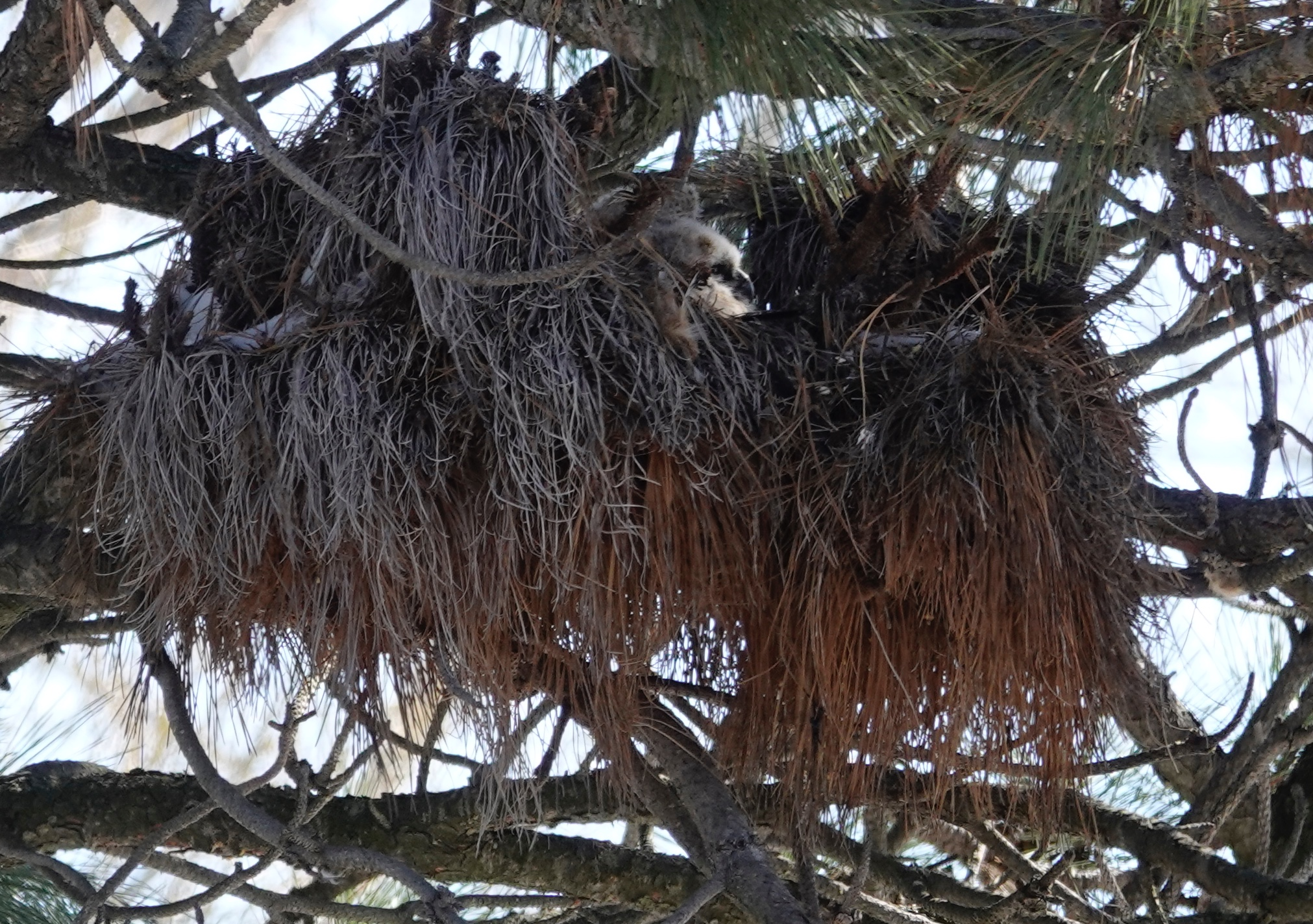 A Great Horned Owl nest in April.