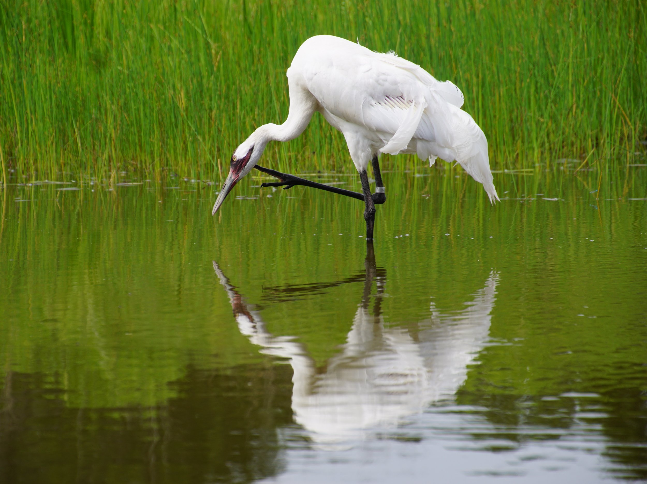 Whooping Crane at the International Crane Foundation in Baraboo, Wisconsin.