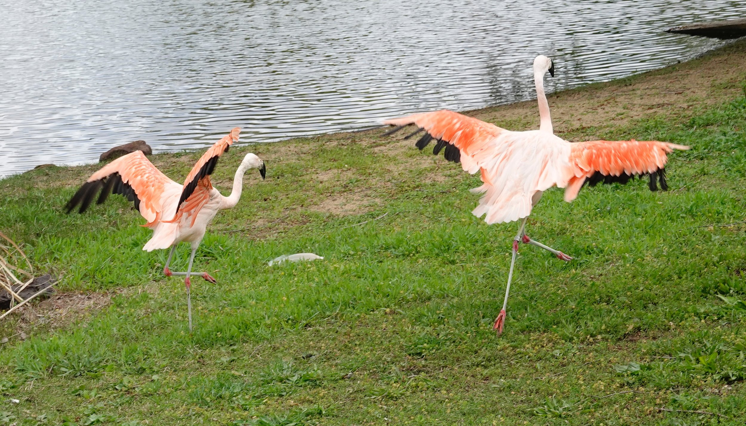 Flamingo dancers.