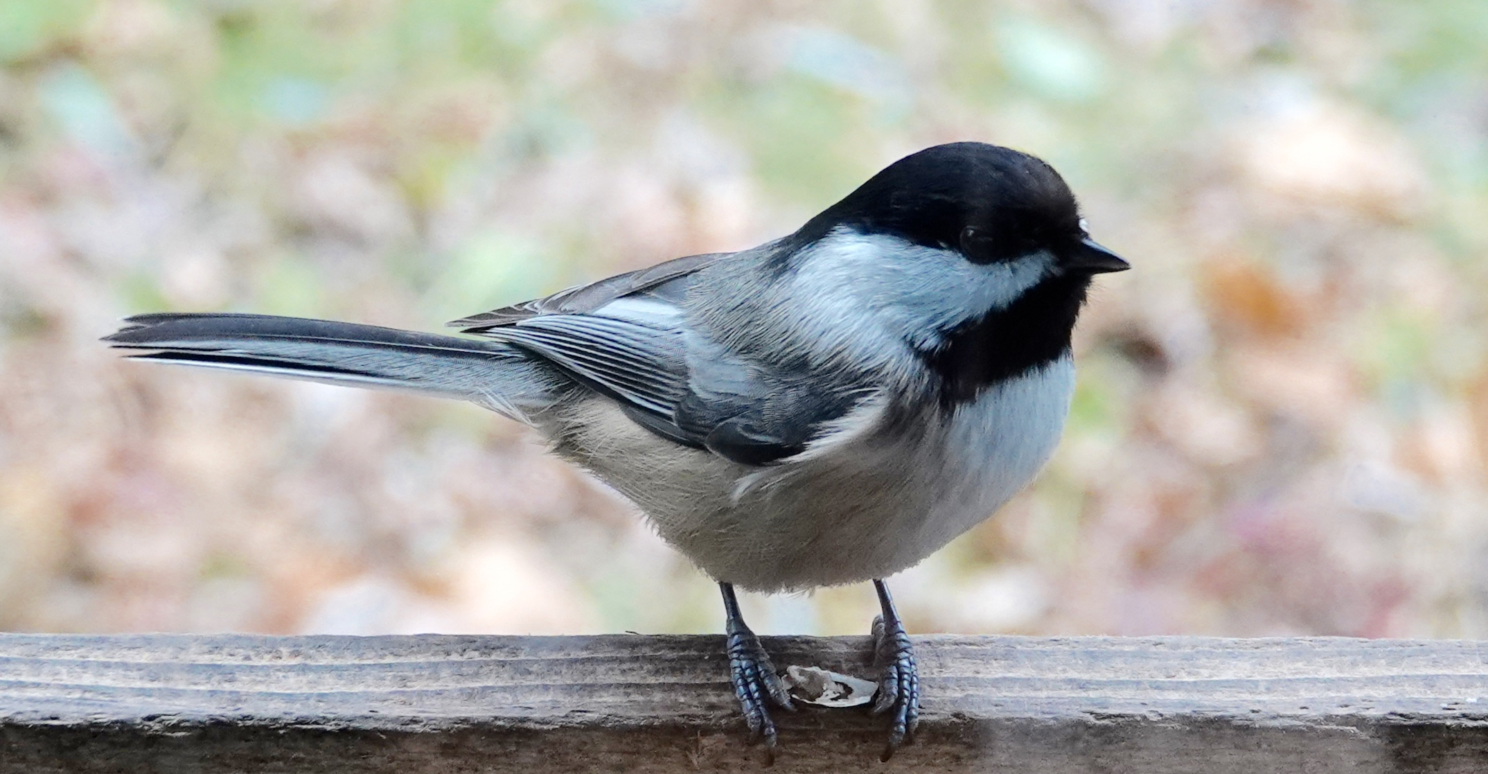 A day without a chickadee is like a day without a chickadee. I couldn't think of anything else it would be like being without.