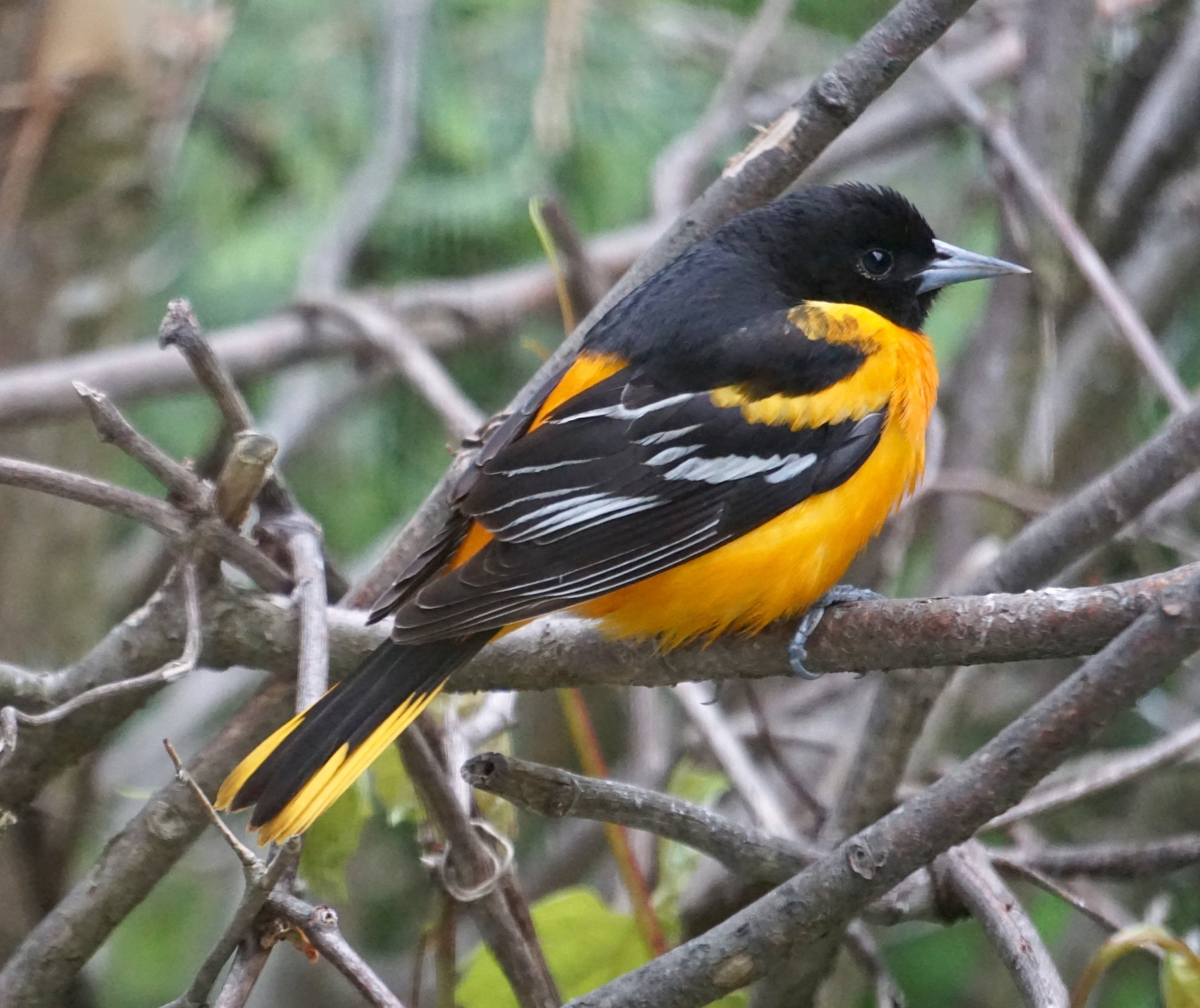 A Baltimore Oriole is a whistling stunner.