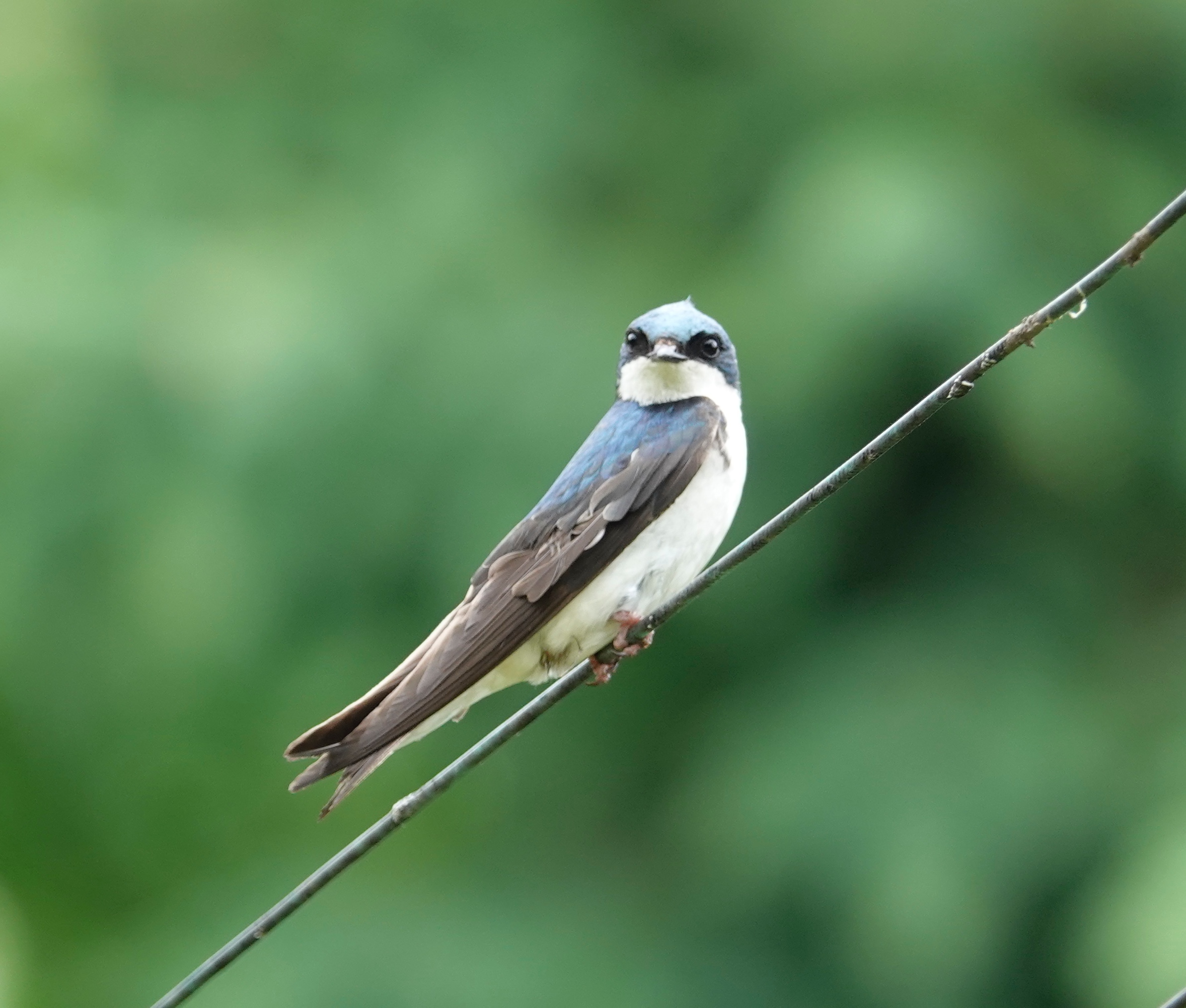 This might be the Ed Grimley of tree swallows.  Ed Grimley was a Martin Short character on SNL.
