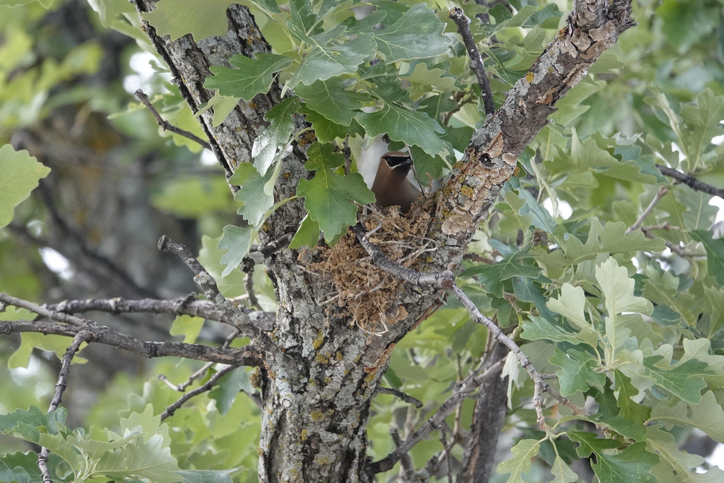 The nest of Cedar Waxwings.